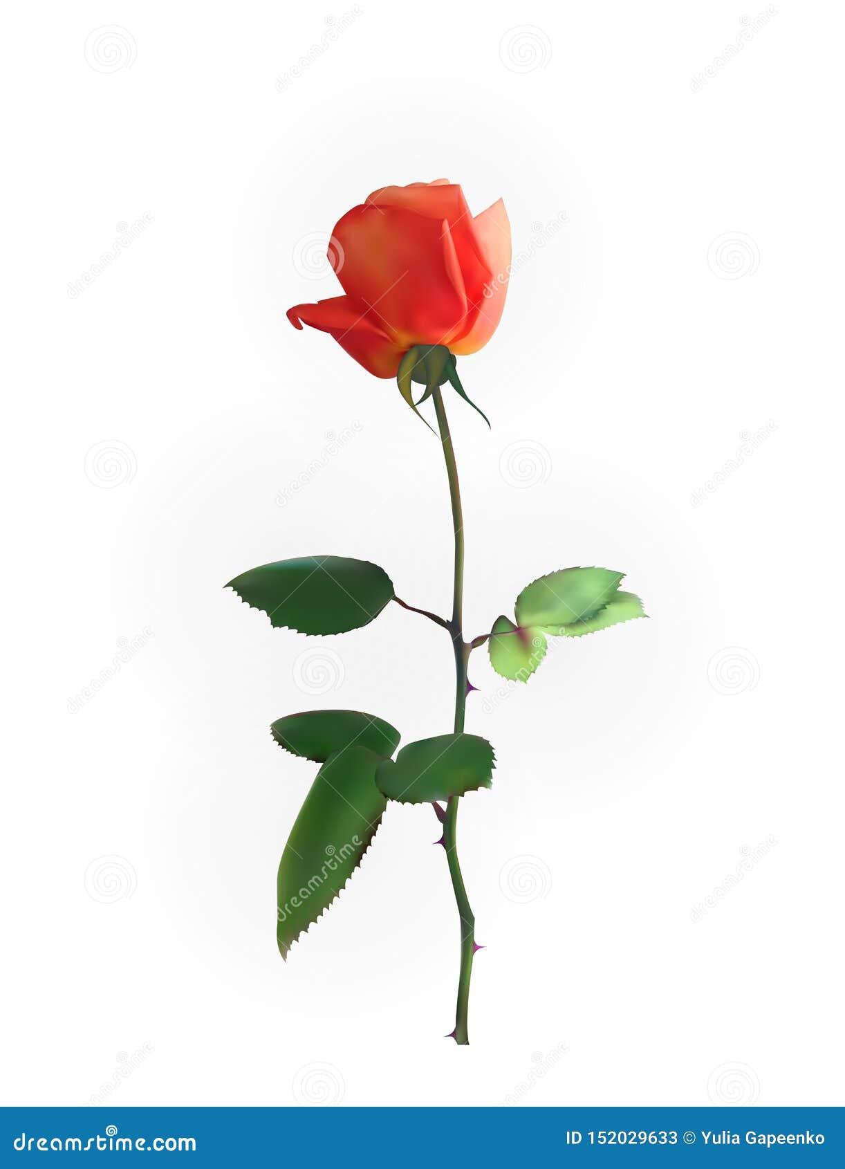 Rosa hermoso Rose Stems Aislado en el fondo blanco Ilustraci?n del vector