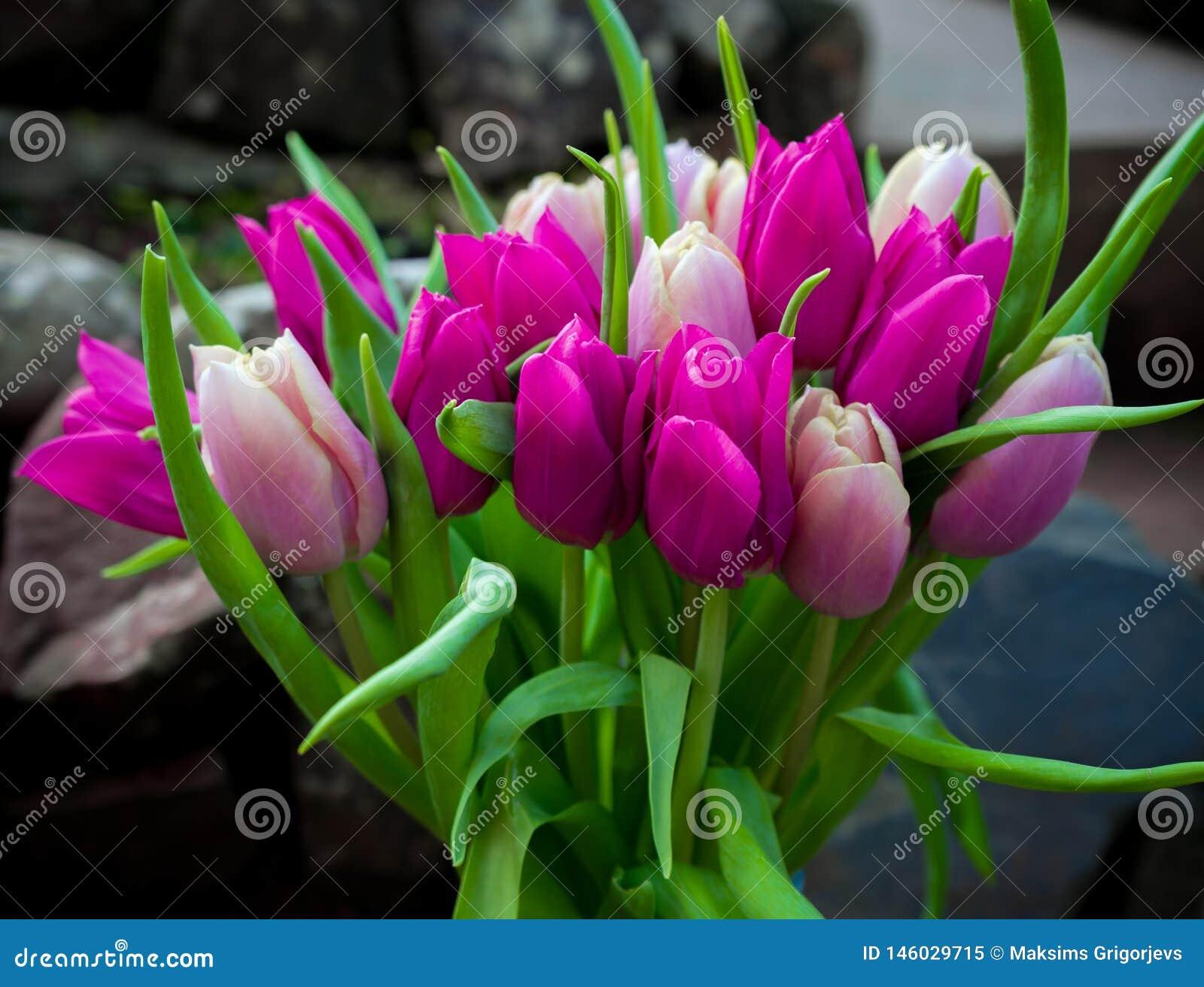 Rosa hermoso y flores p?rpuras del ramo de los tulipanes
