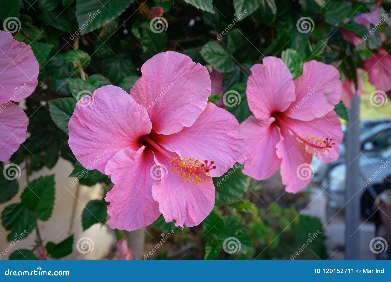 Rosa hibiskusblommor