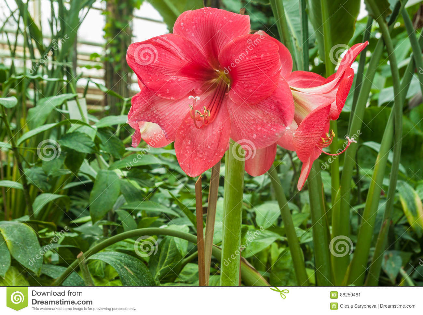 Rosa Hippeastrum i växthuset