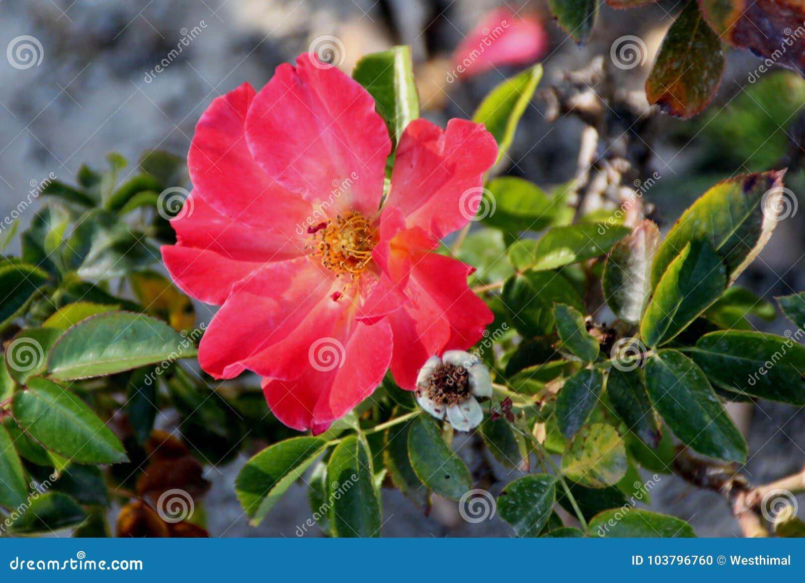 Rosa Hiszpański zmierzch, Floribunda różany cultivar