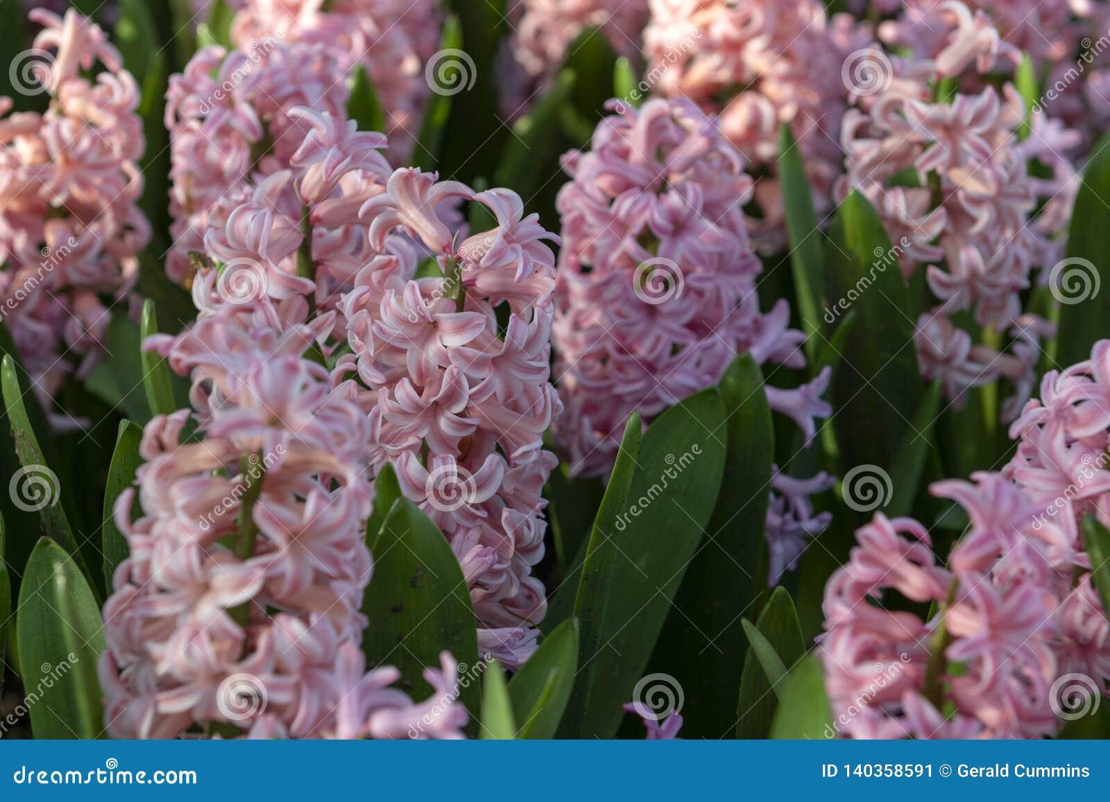 Rosa Hyacinthus, orientalis da espécie, jacinto Flores bulbosas da mola atrativa