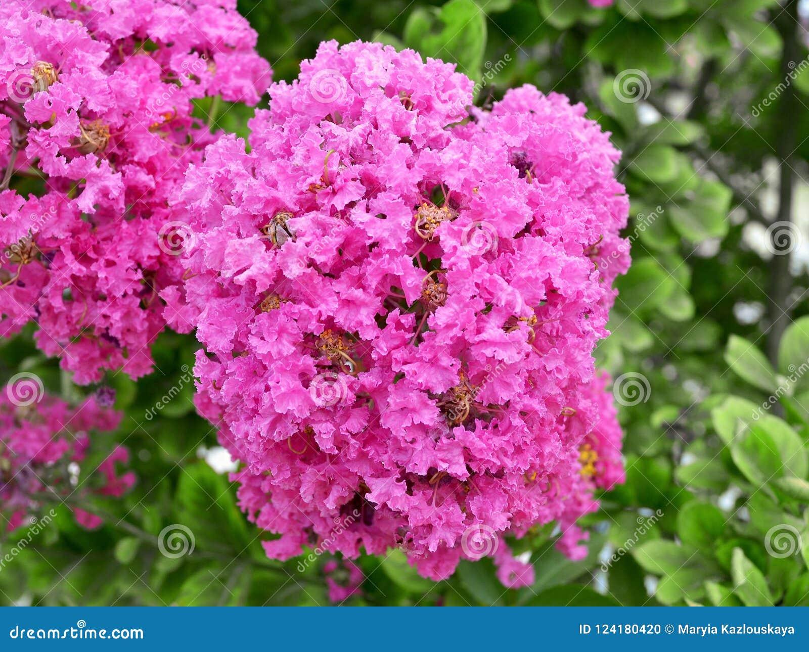 Rosa inflorescence för frodig frotté av kräppmyrten