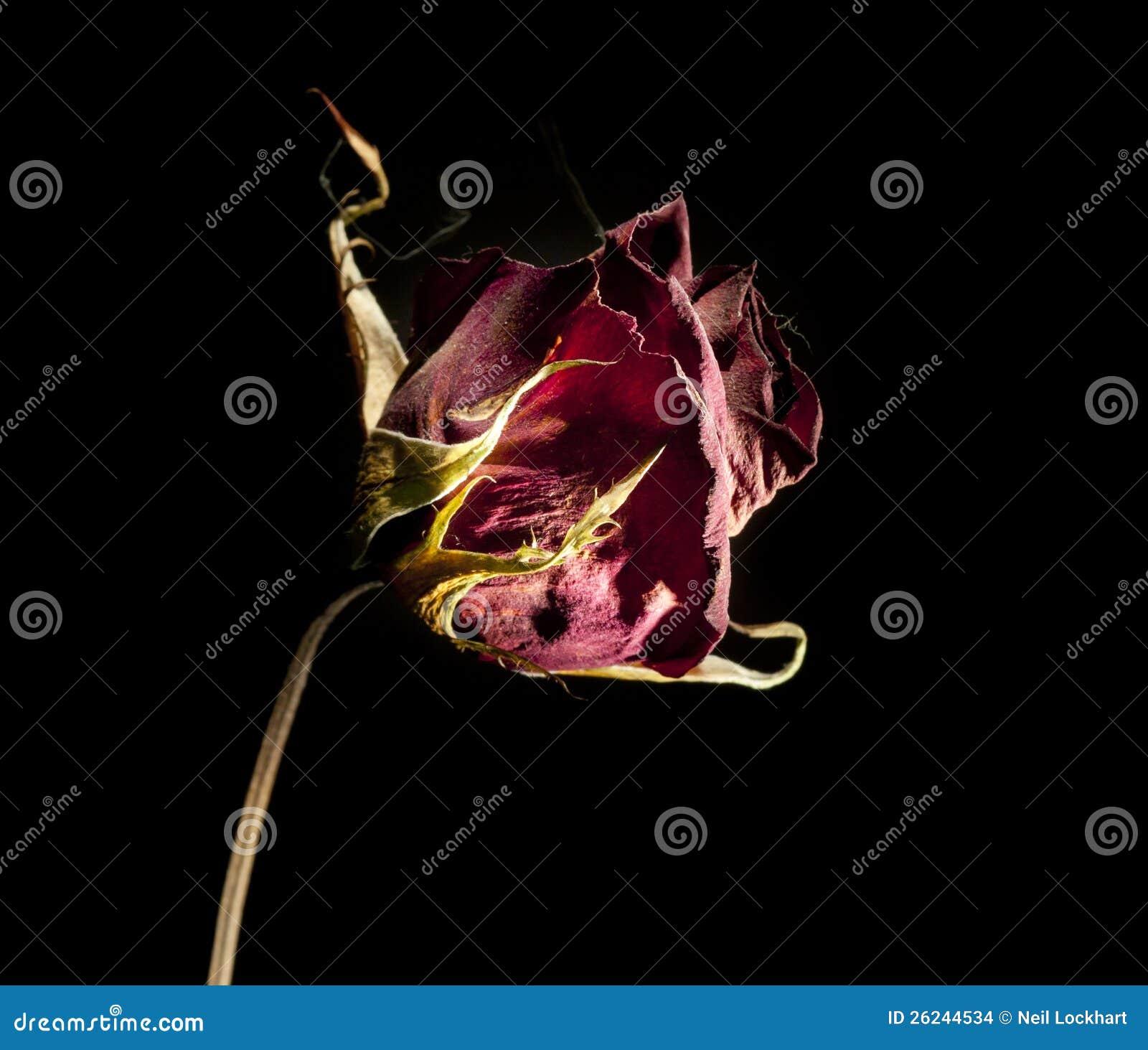 Rosa inoperante