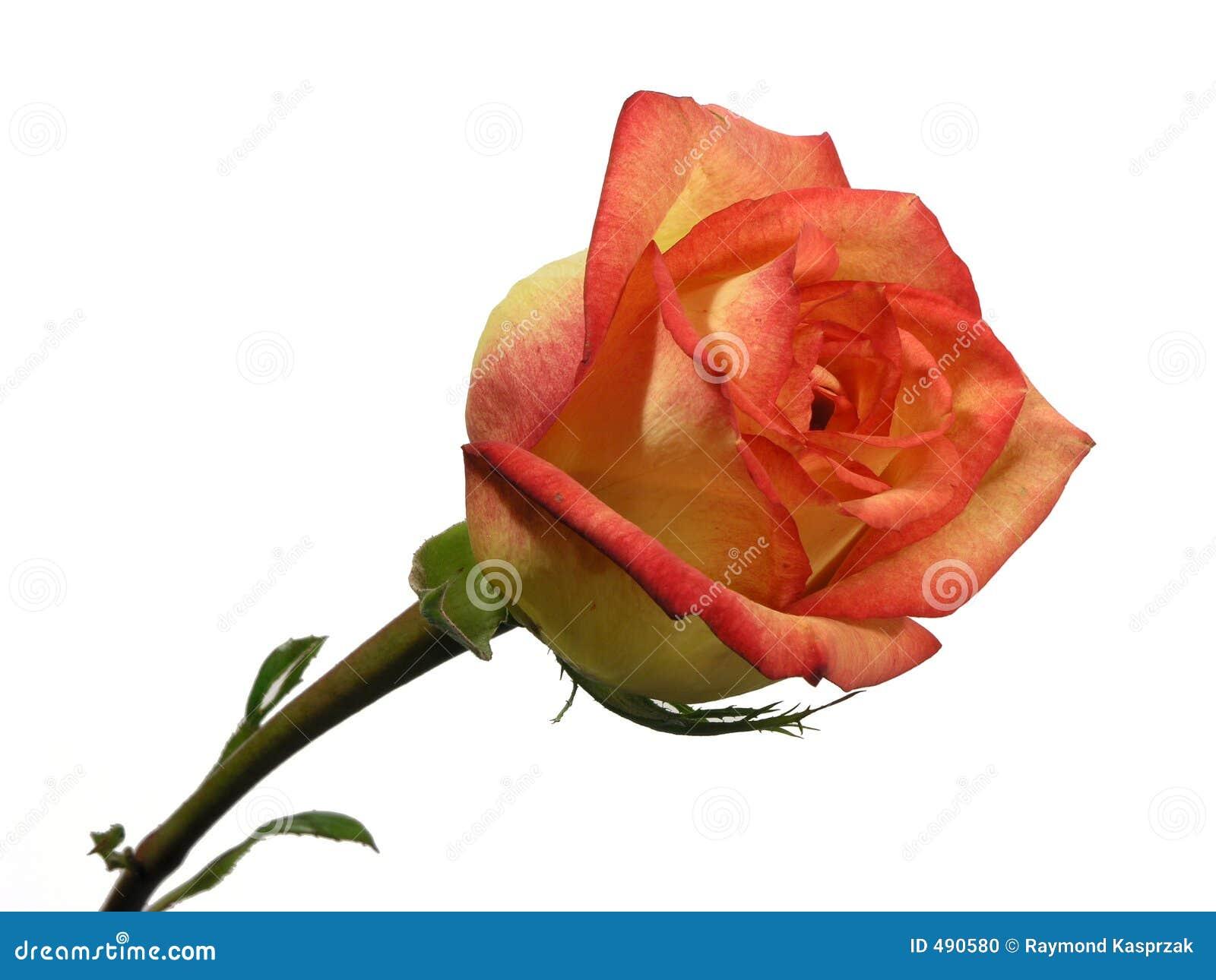 Rosa isolada