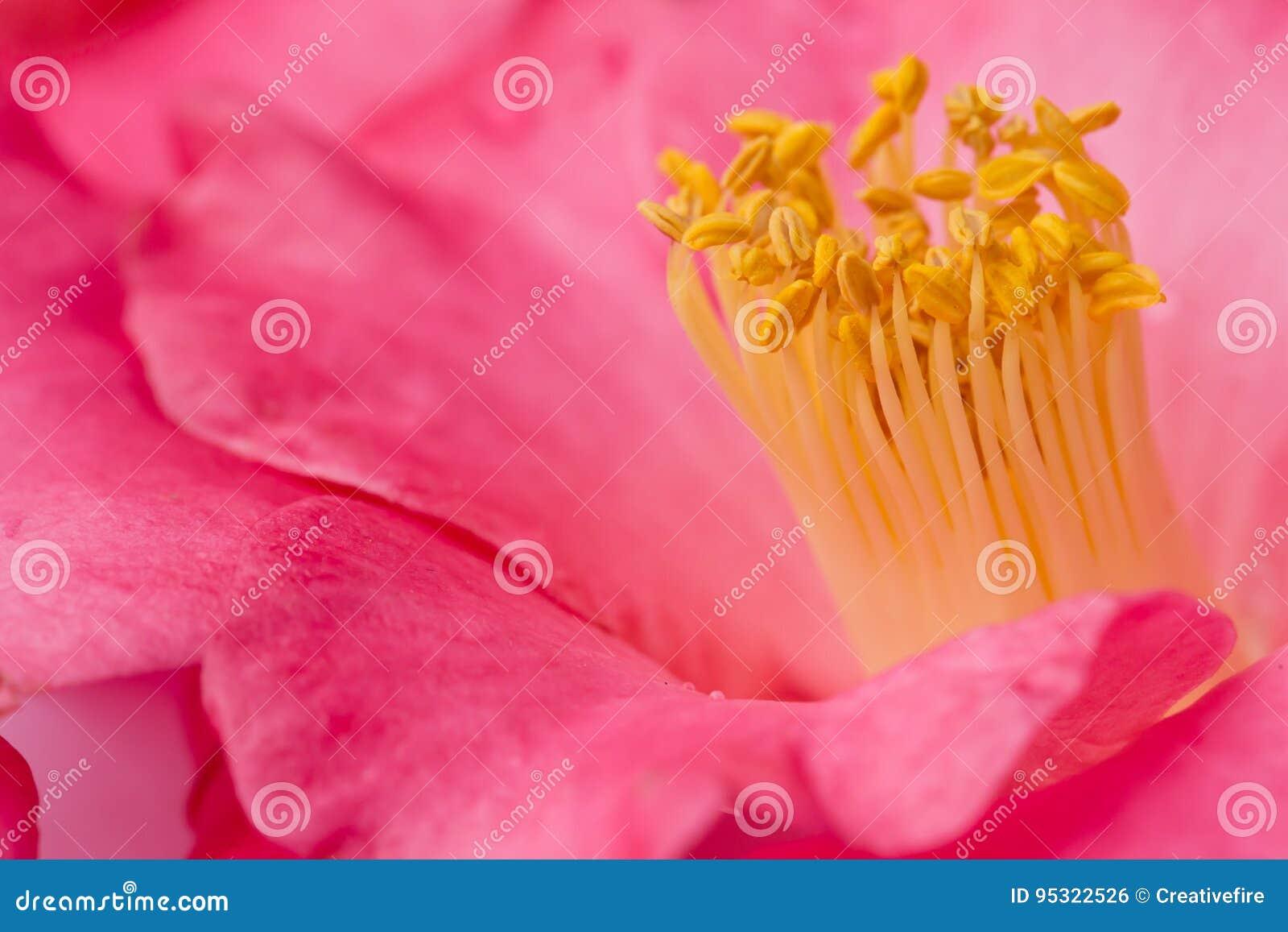 Rosa kameliablomma - makro - närbild med gul ståndare