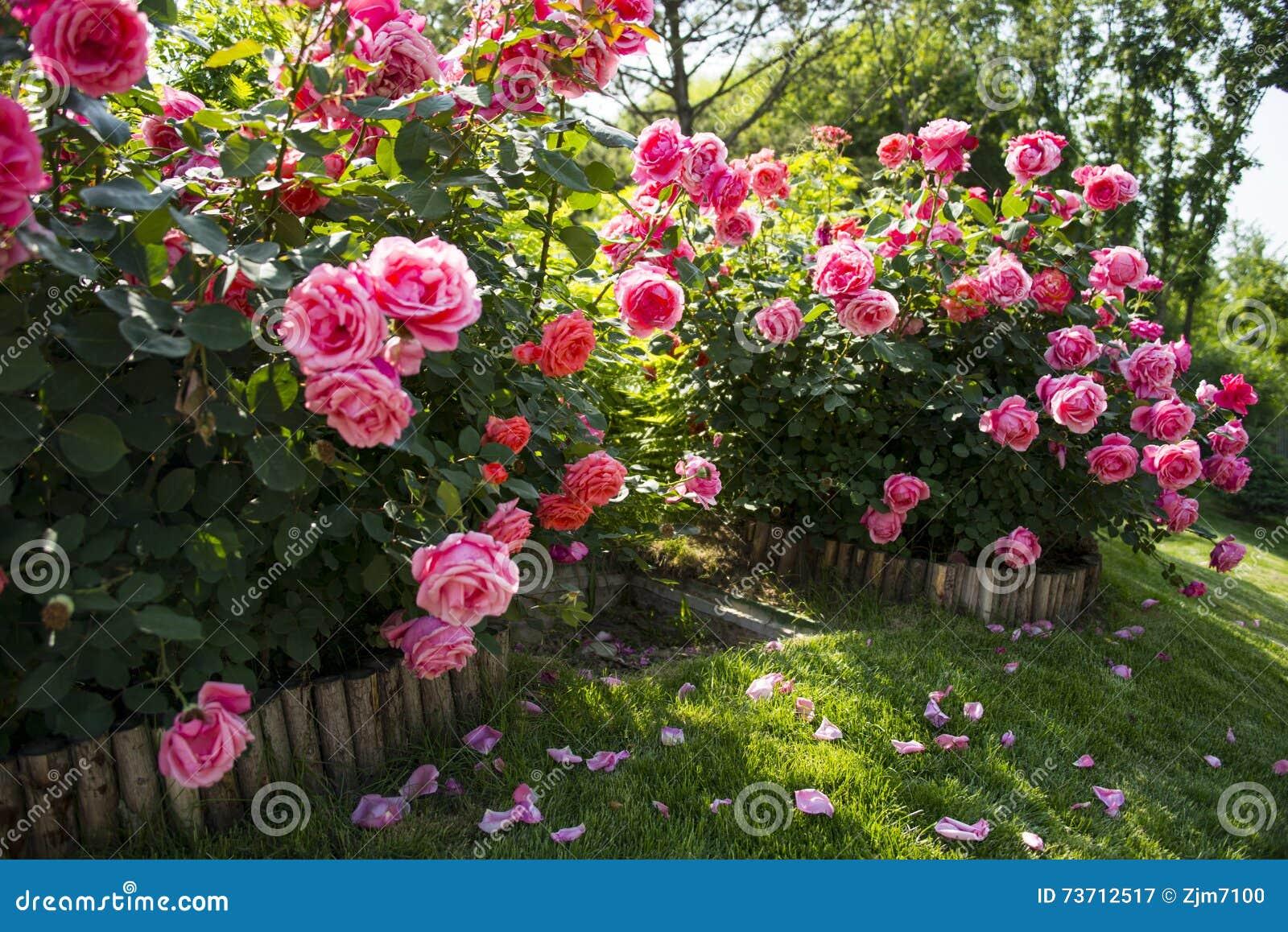 Rosa kines steg