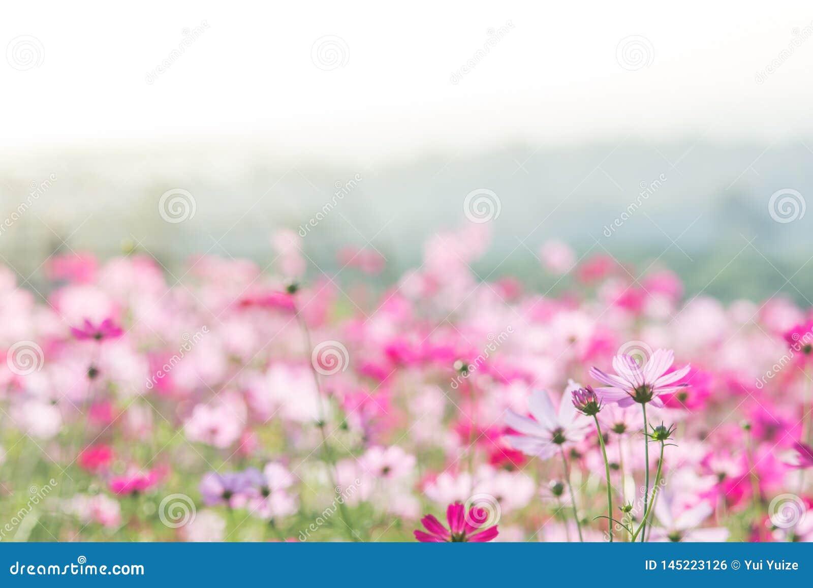 Rosa kosmosblommafält, landskap av blommor