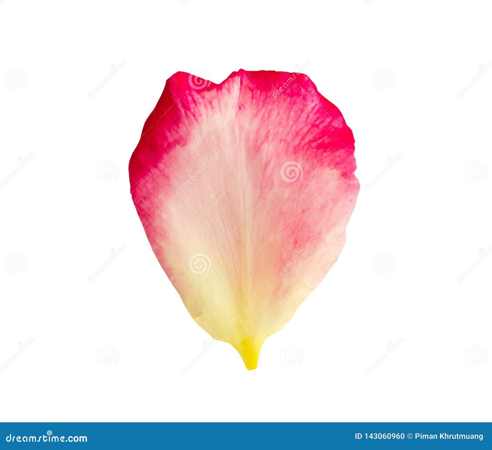 Rosa kronblad som isoleras på vit bakgrund
