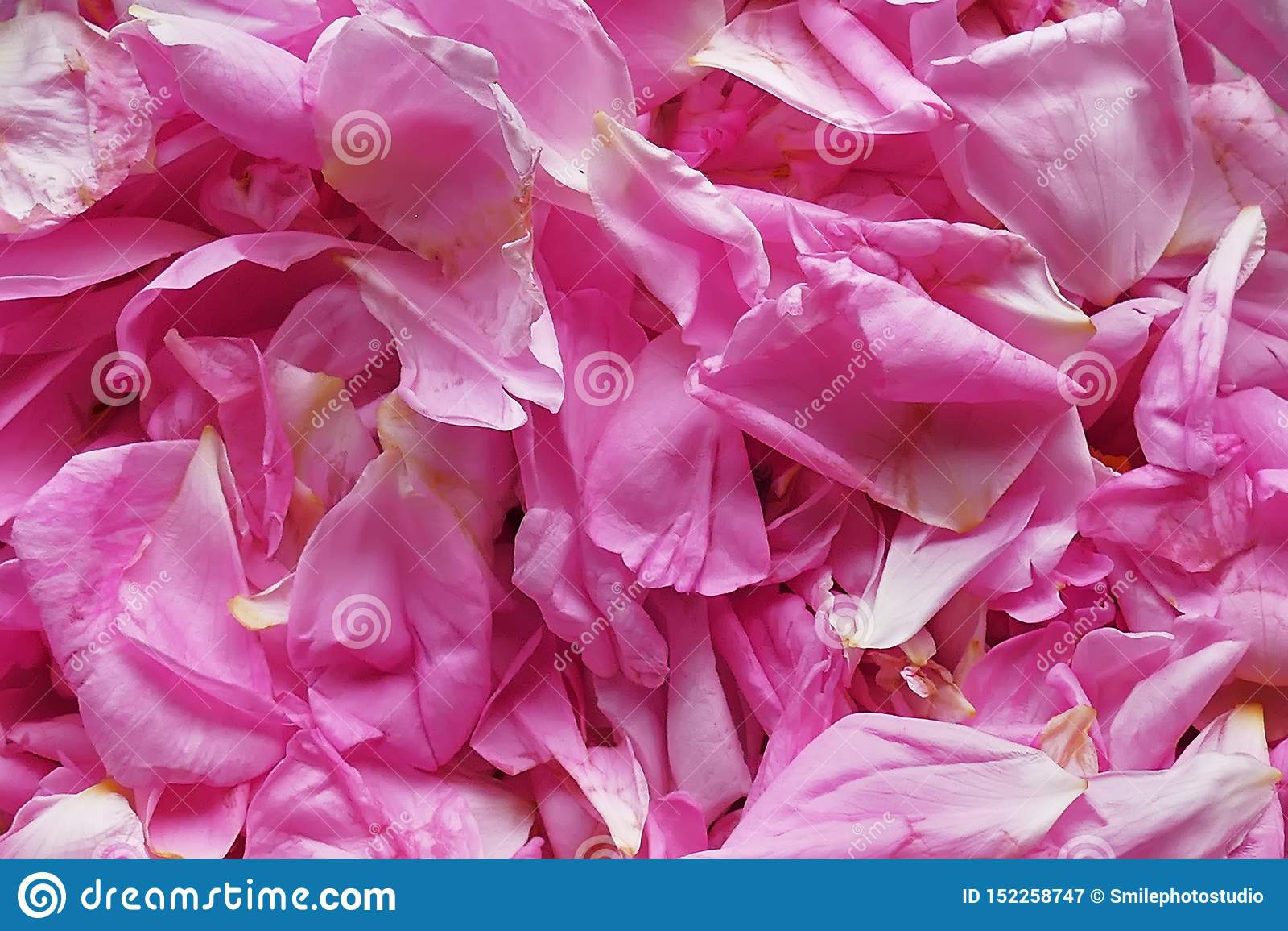 Rosa kronbladbakgrund