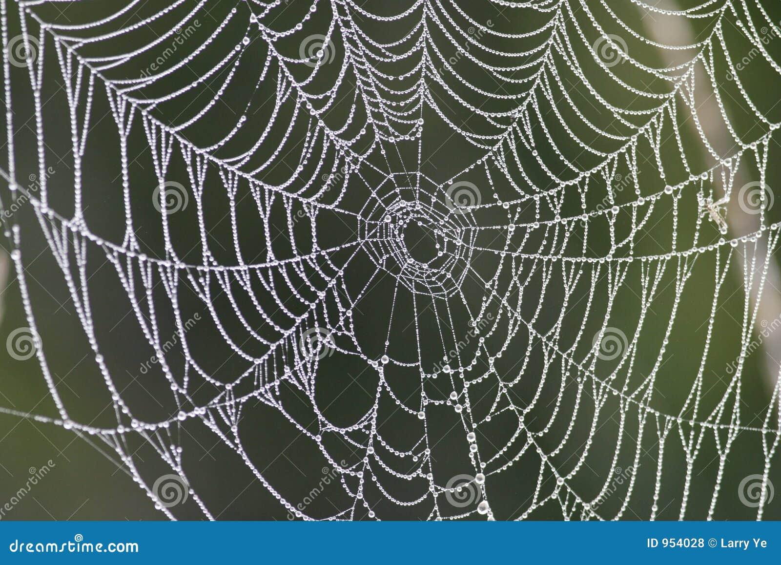 Rosa kropli pajęczynę