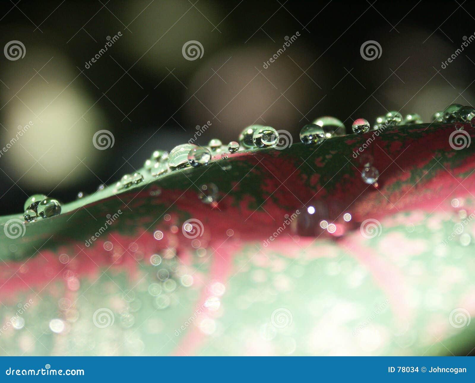 Rosa liści,