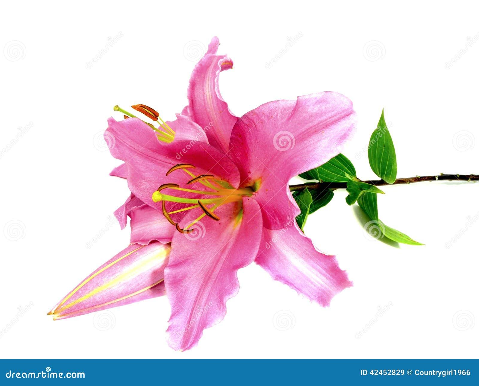 Rosa Lilie