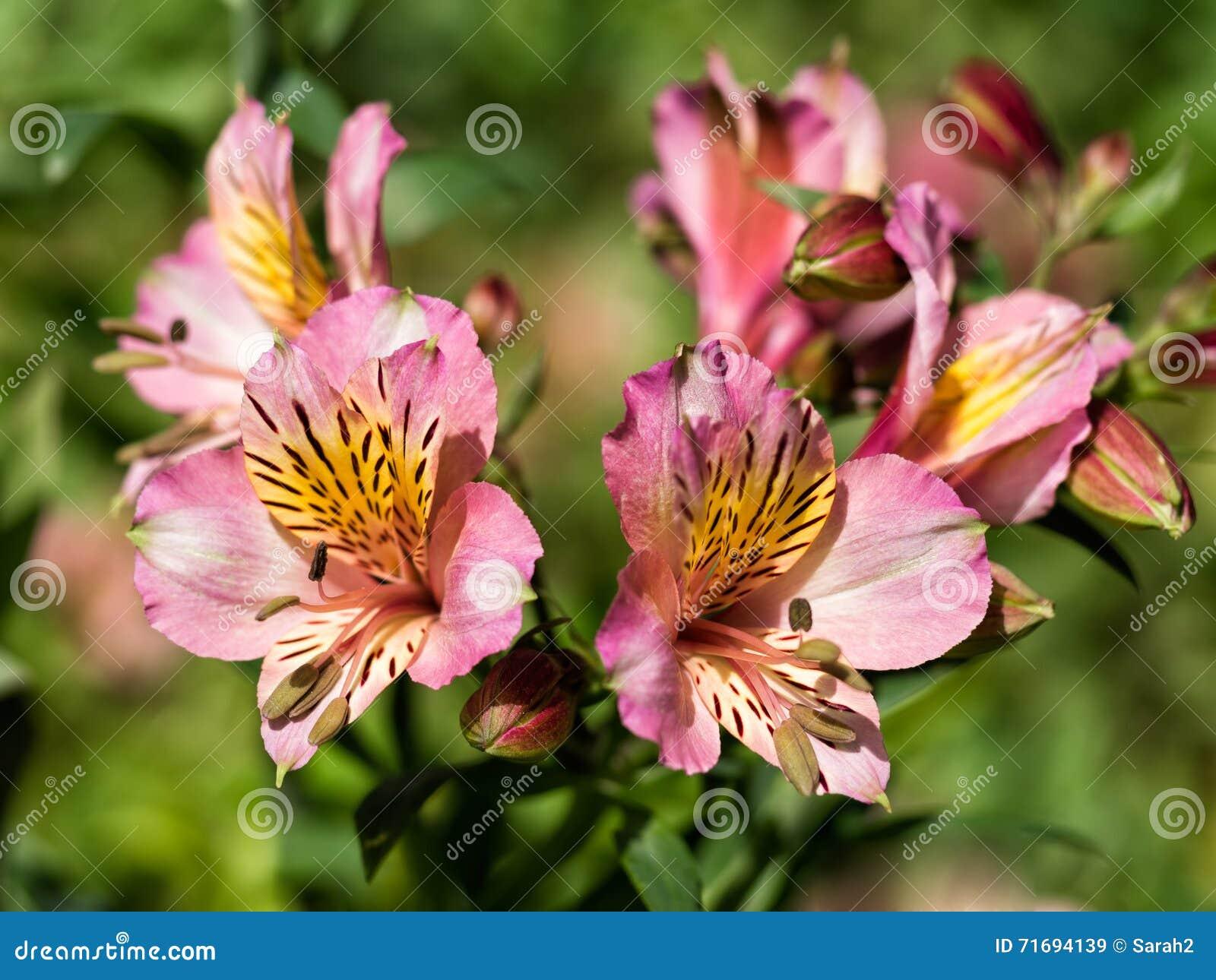 Rosa Lilienblumen, eingebürgert Alstroemeria