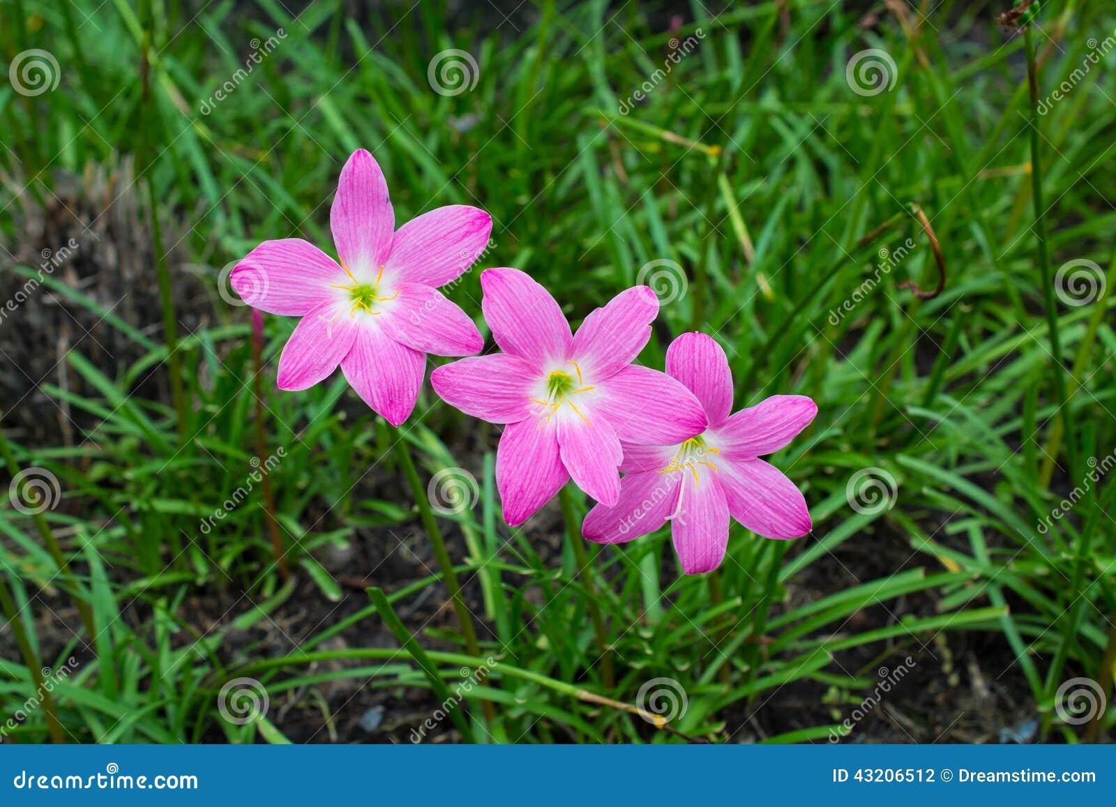 Download Rosa lilja arkivfoto. Bild av trädgårdsnäring, green - 43206512