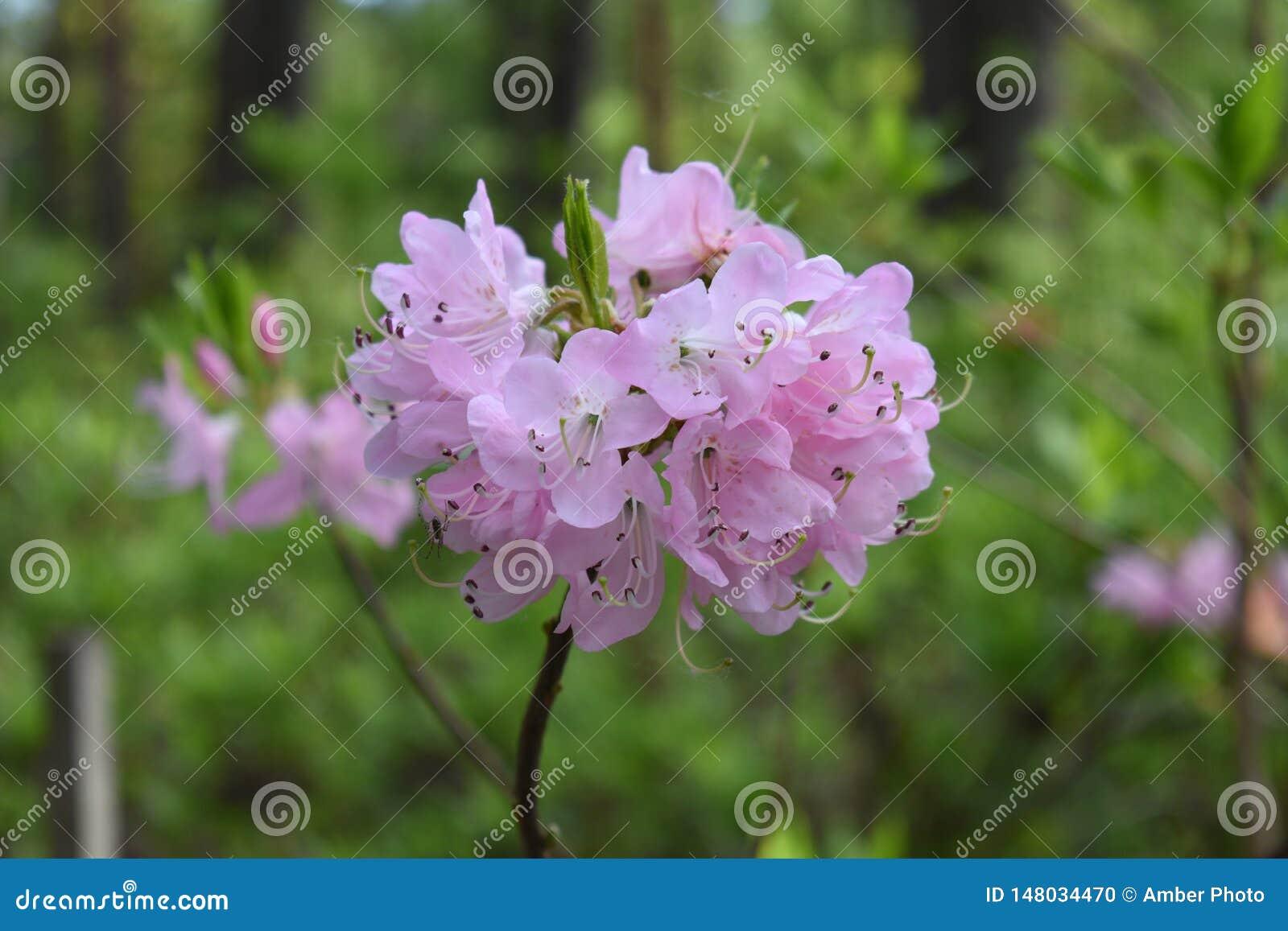 Rosa ljust - purpurfärgad grupp för rhododendronblommablomning