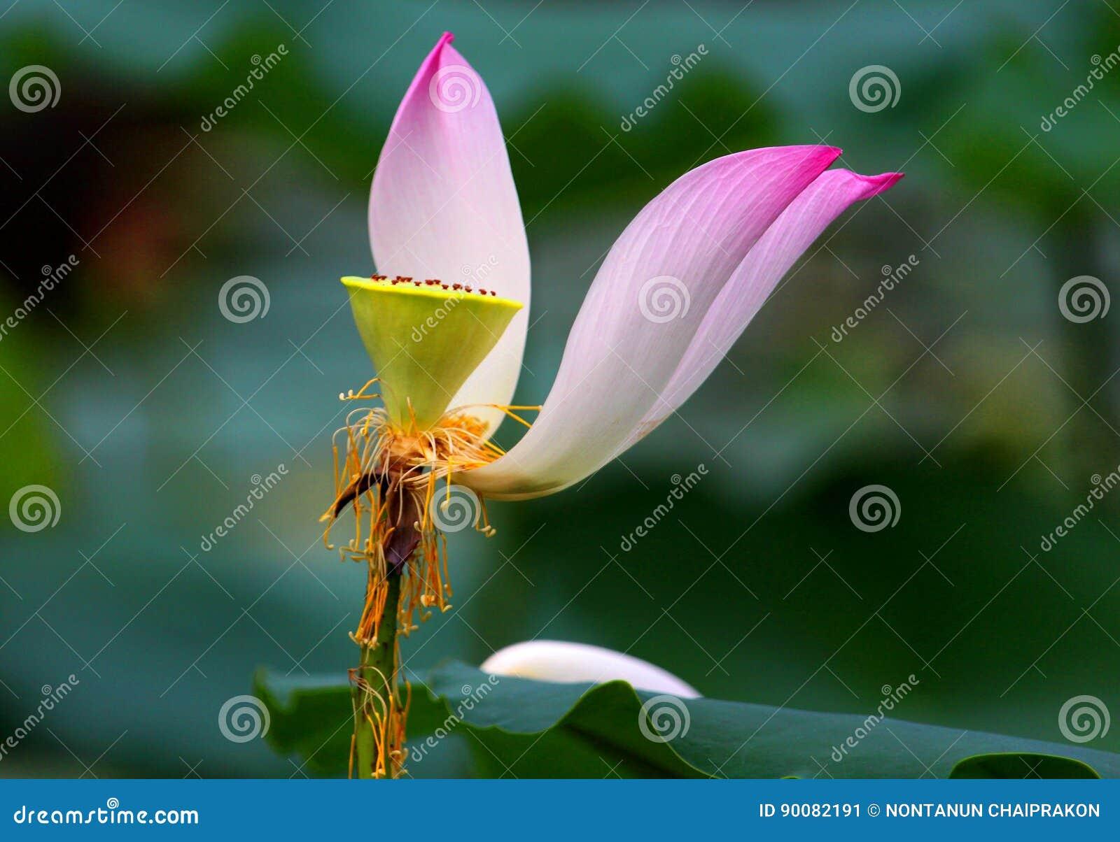 Rosa Lotos Ist Eine Wasserblume Stockbild Bild Von Blumenblatt