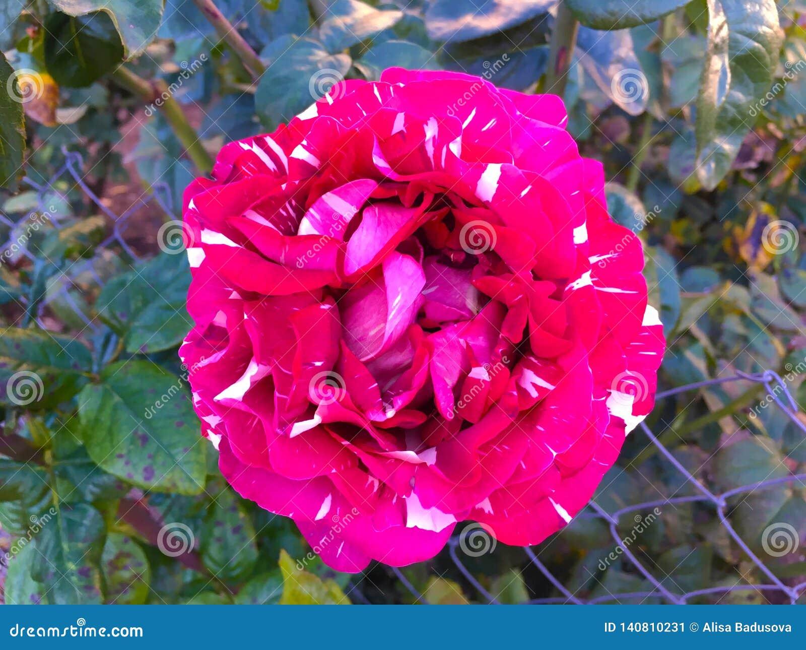 Rosa macchiata rossa della bella tigre, fondo di abracadabra della classe