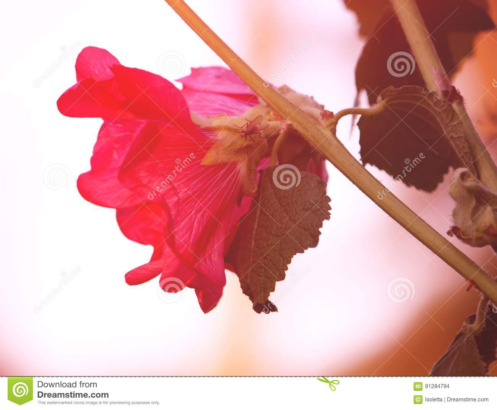 Rosa malvablommor