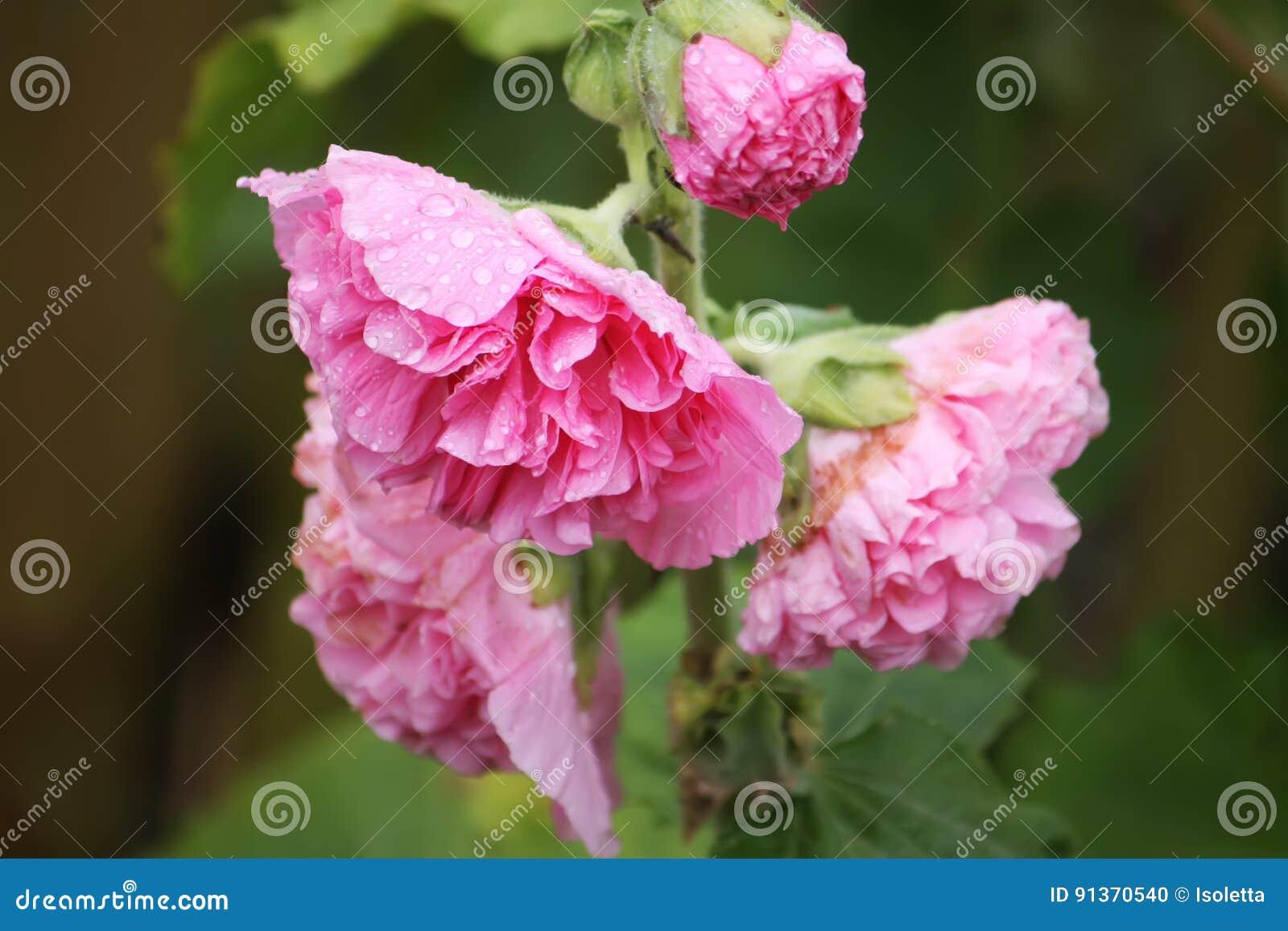 Rosa malvaväxter
