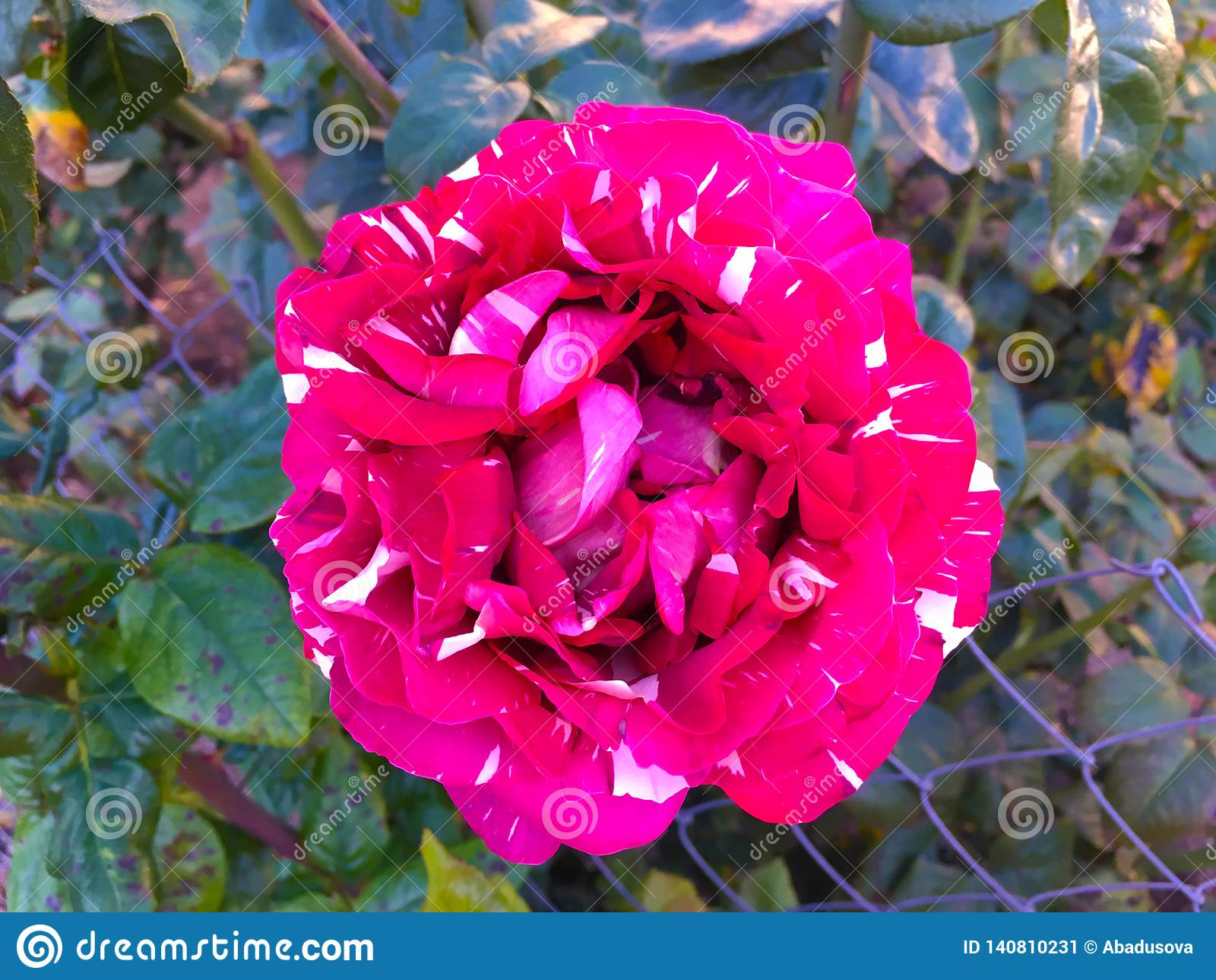 Rosa manchada vermelha do tigre bonito, fundo da abracadabra da classe