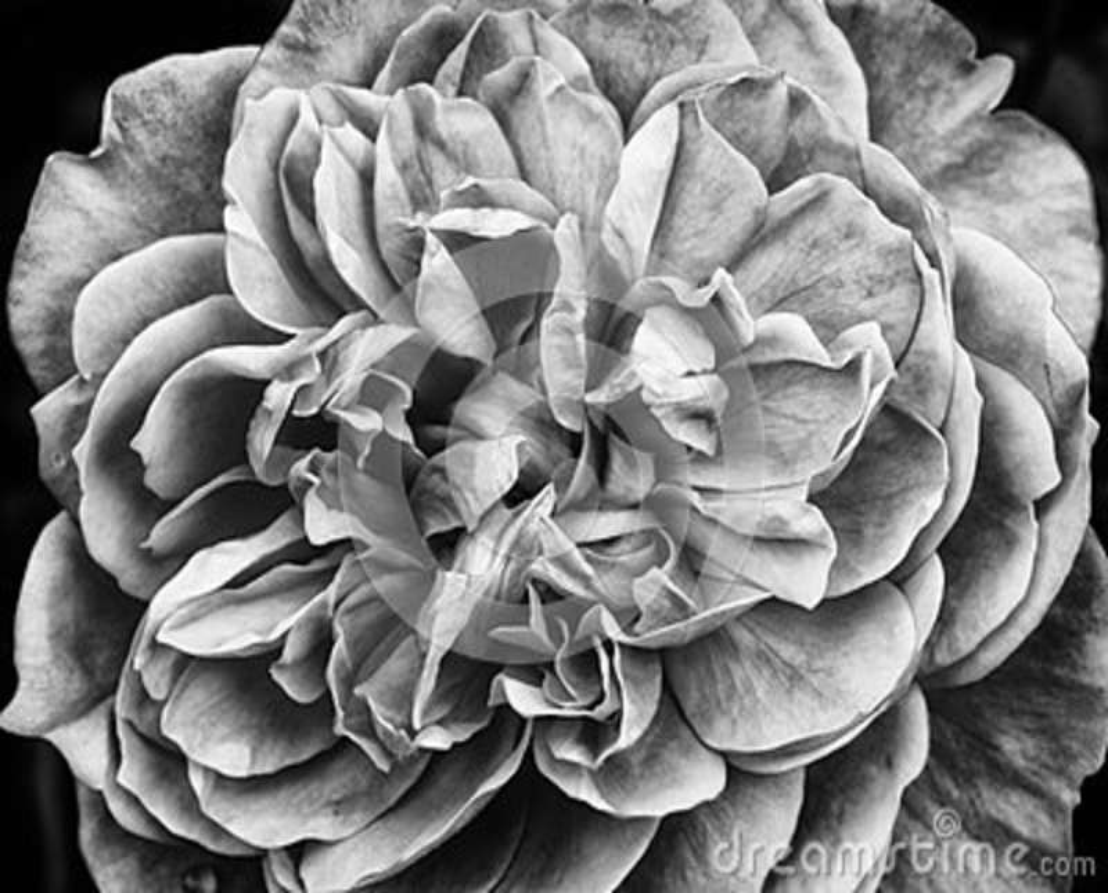 Rosa monocromática do branco - próxima