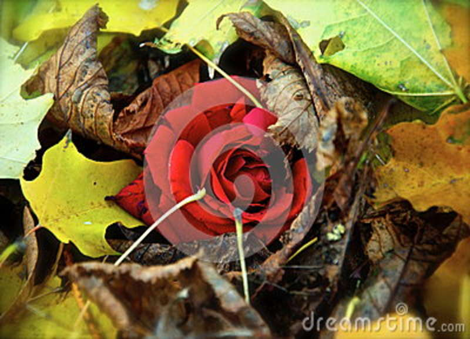 Rosa nas folhas de outono