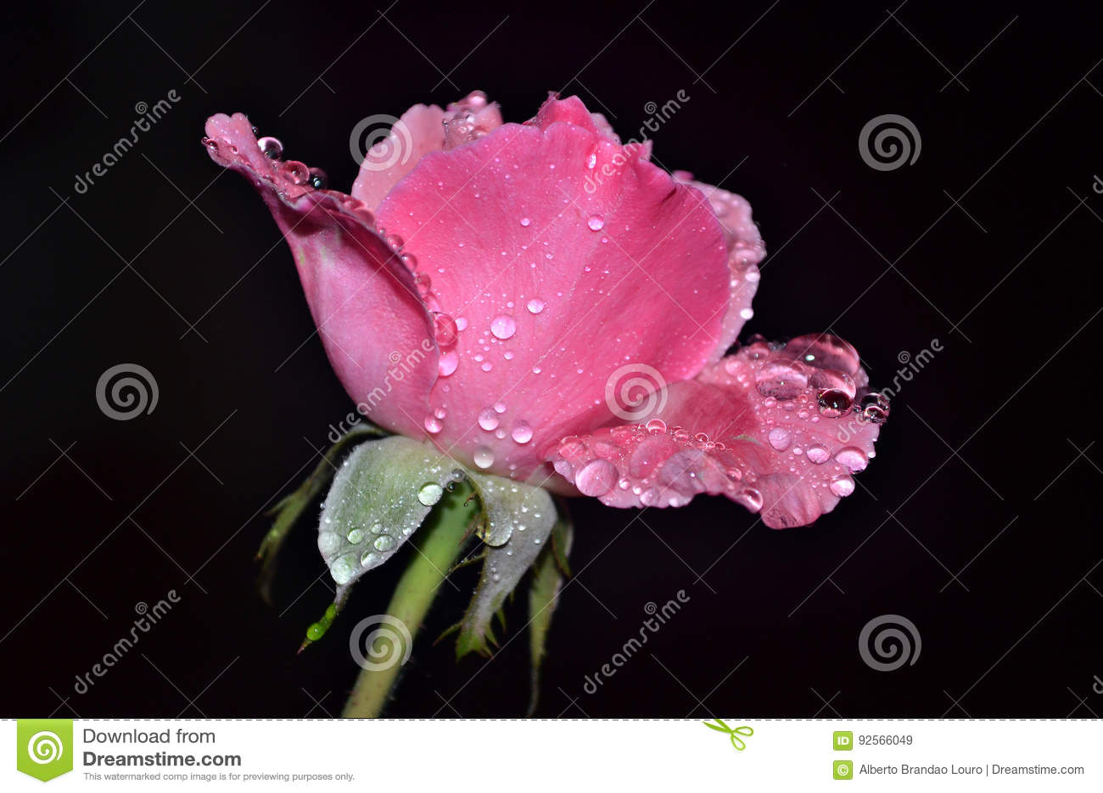 Rosa nella notte piovosa