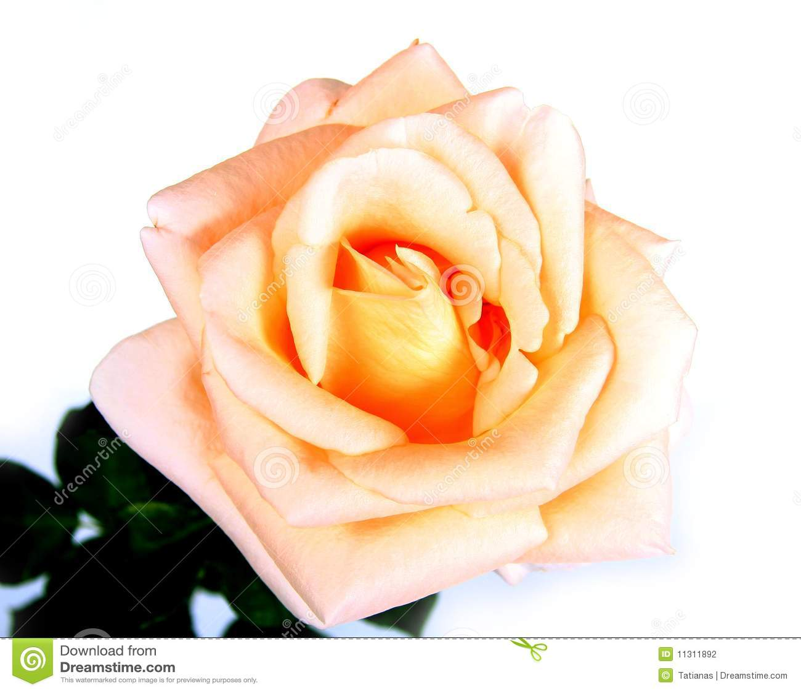 Rosa no branco.