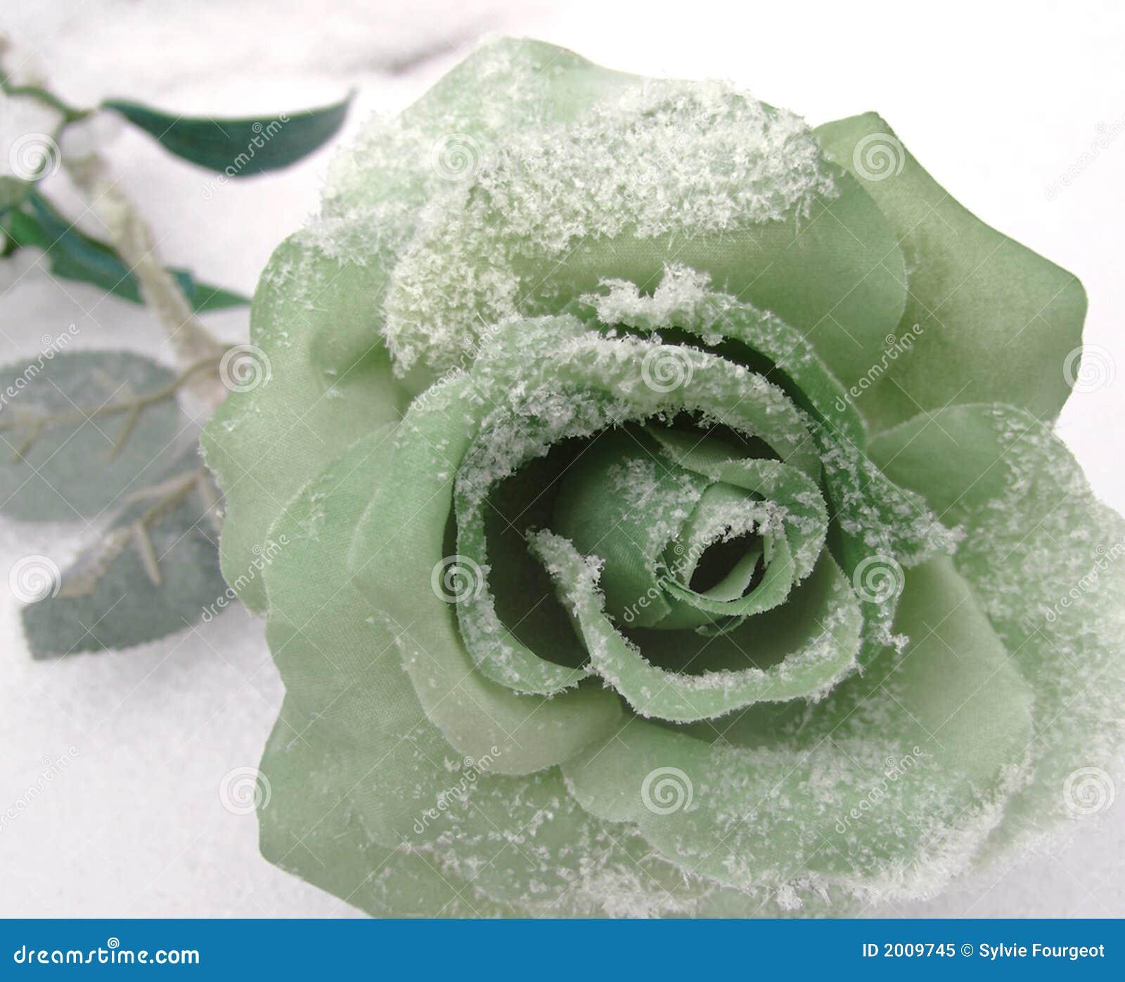 Rosa no inverno.