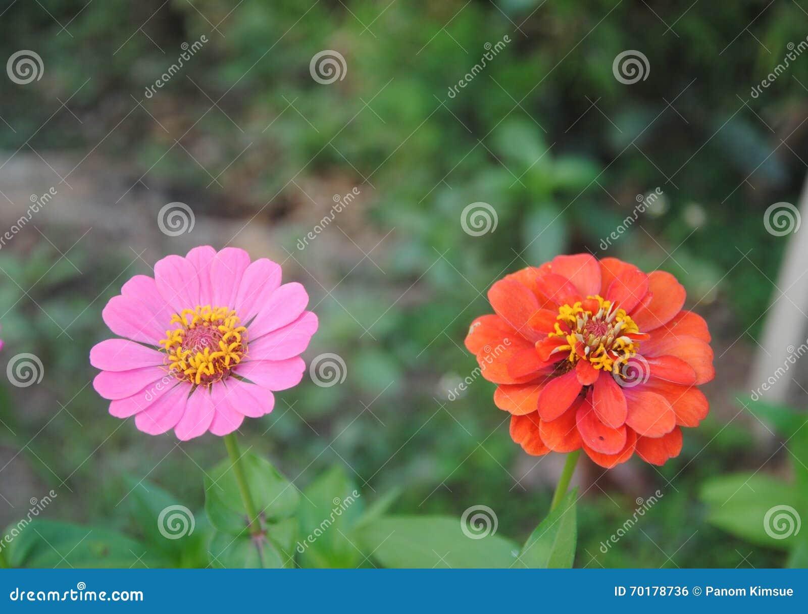 Rosa och röda blommor som blommar i trädgården