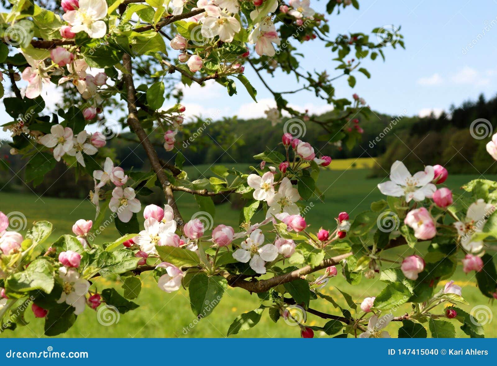 Rosa och vita blommor på ett träd framme av en äng- och skogvår i Tyskland