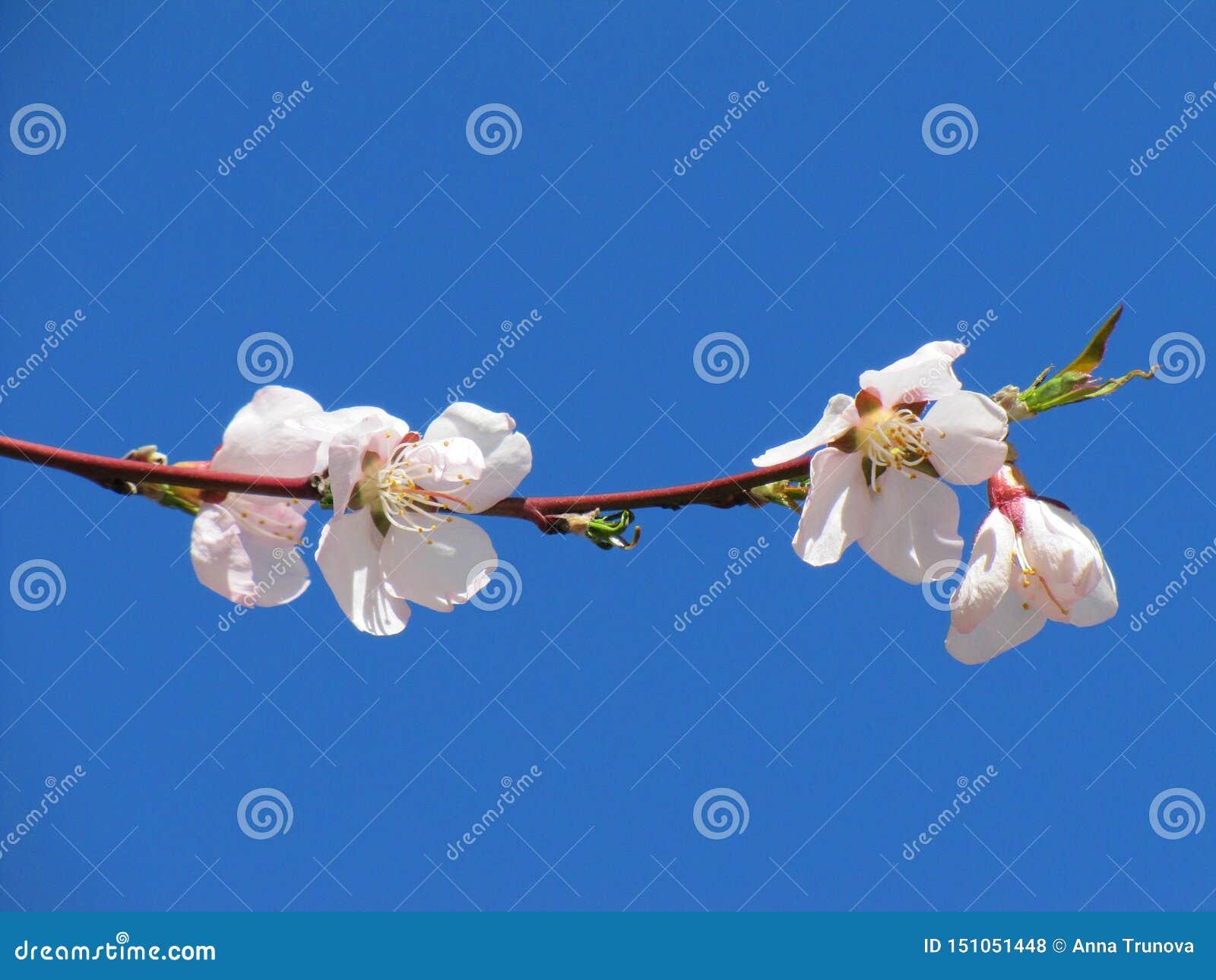 Rosa och vita körsbärsröda blomningar i det Jiuzhaigou nationalparkSichuan landskapet