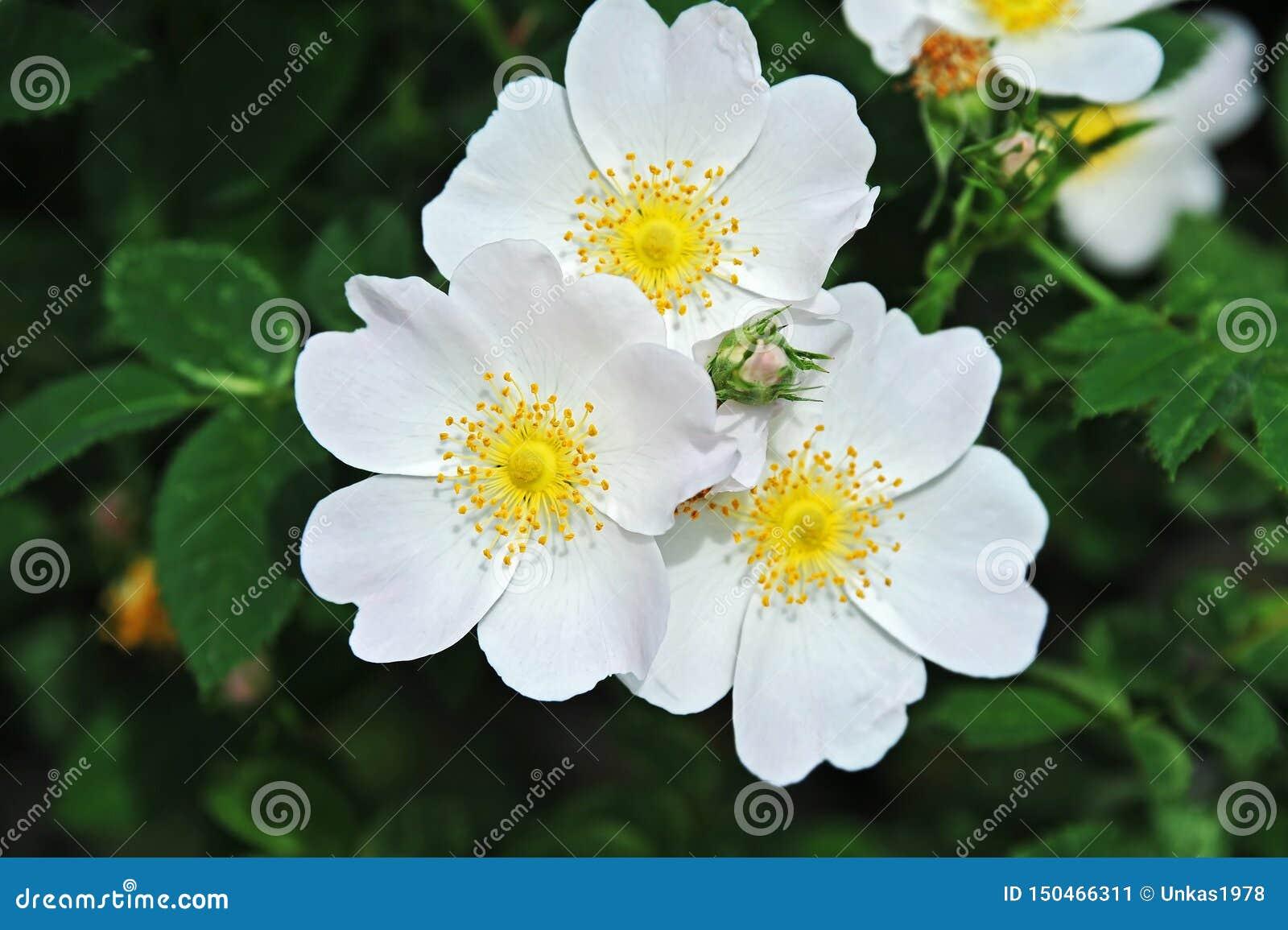 Rosa odorata flower
