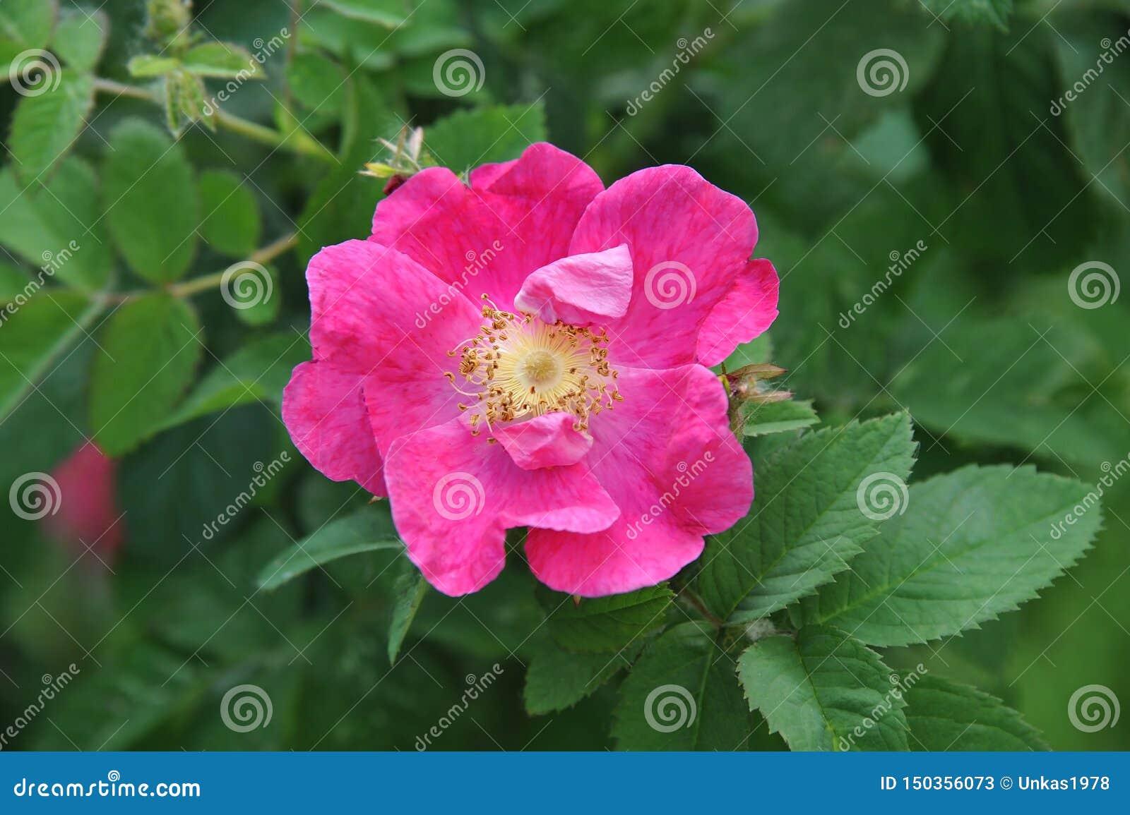 Rosa odoratablomma