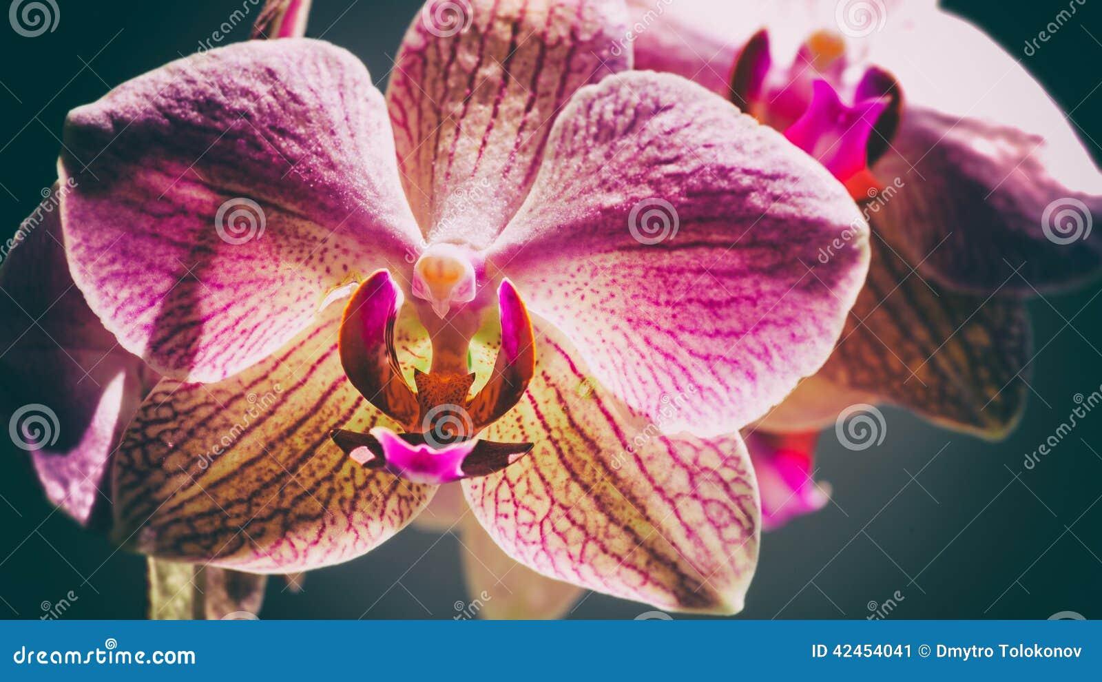 Rosa Orchidee der Schönheit