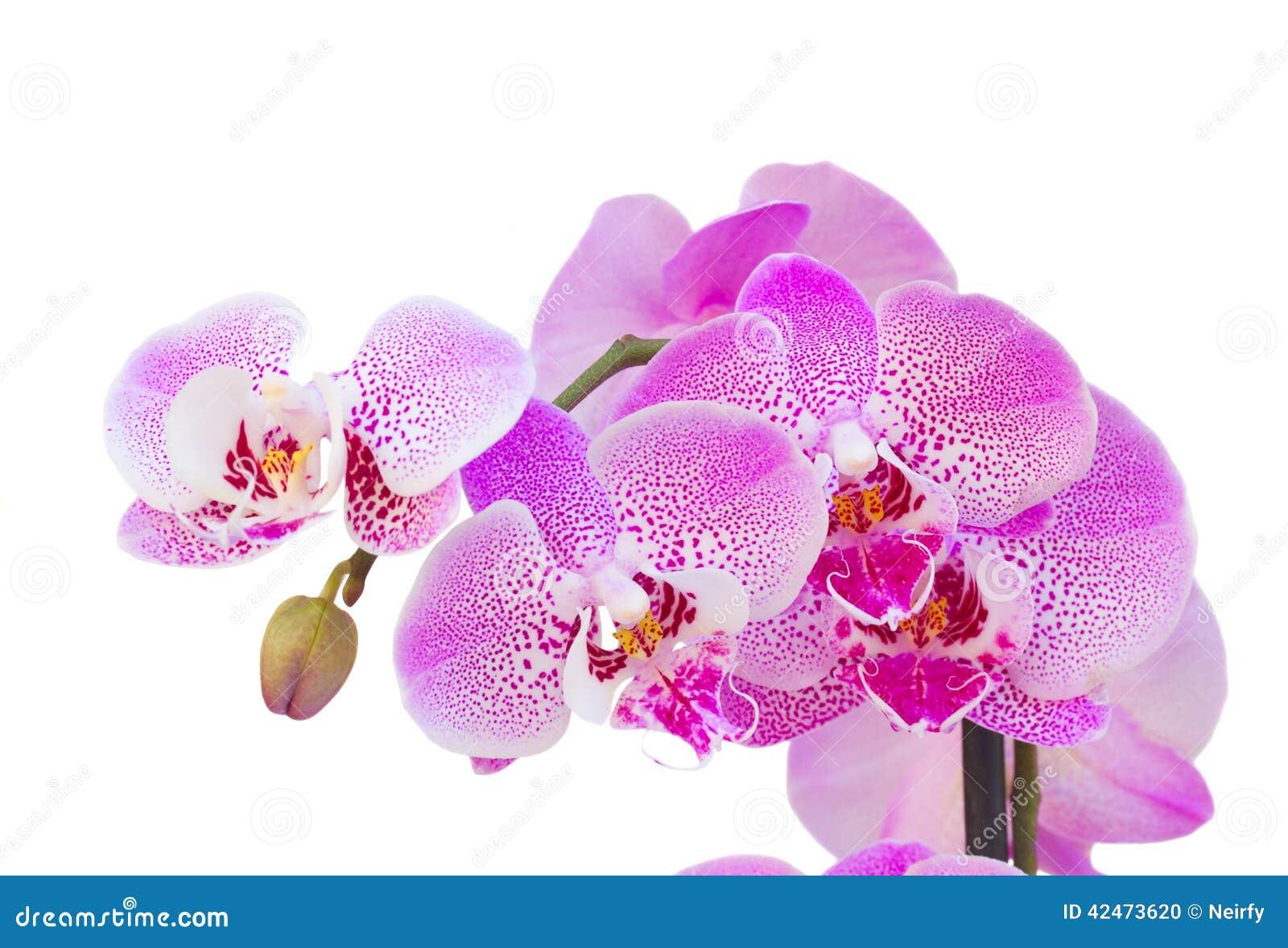 Rosa Orchideenniederlassungsabschluß oben