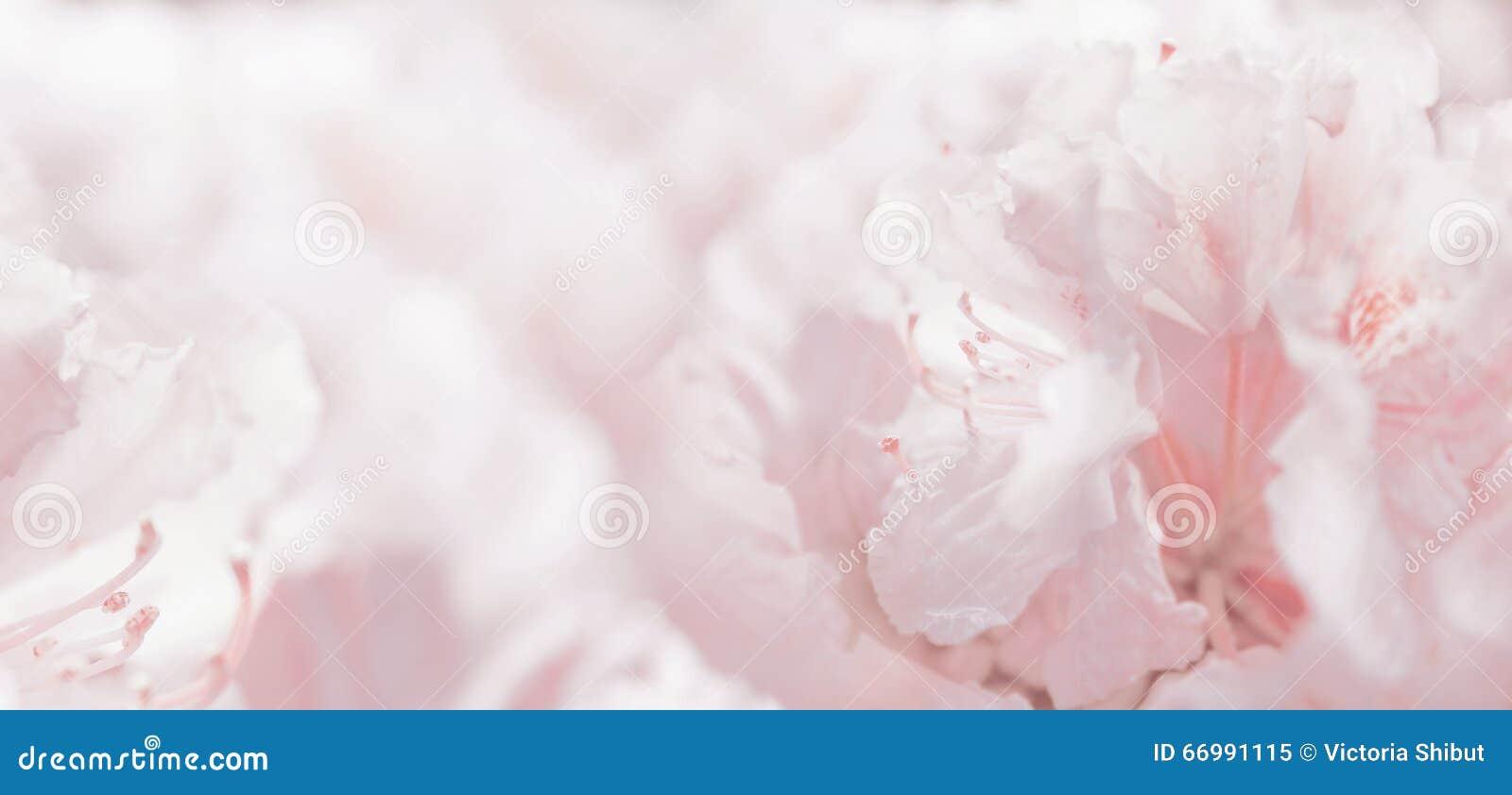 Rosa pastellfärgad blom- romantisk bakgrund och bokeh