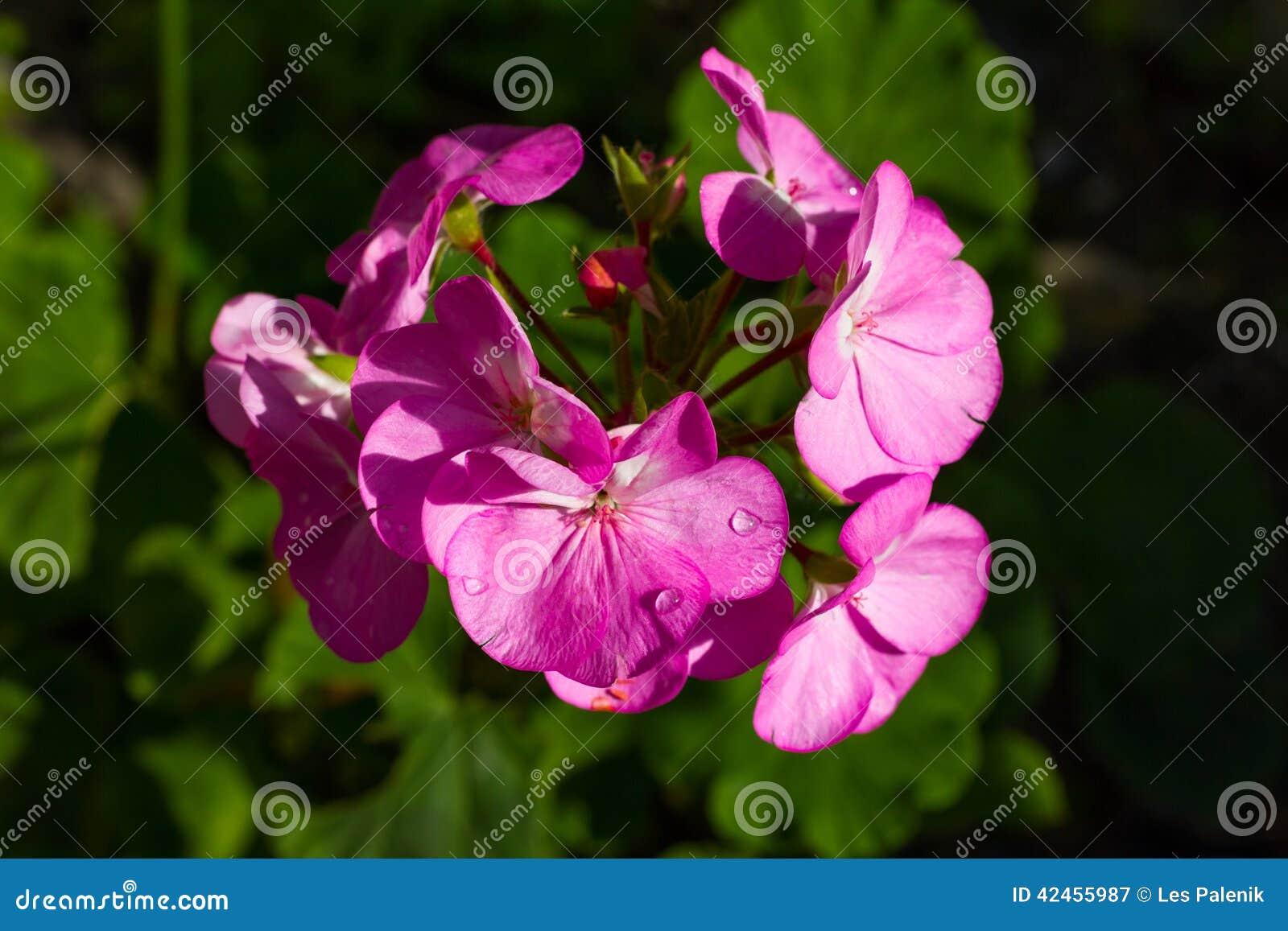 Rosa Pelargonienblume