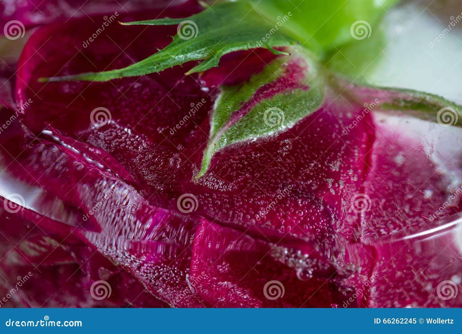 Rosa pequena do vermelho congelada em um bloco de gelo