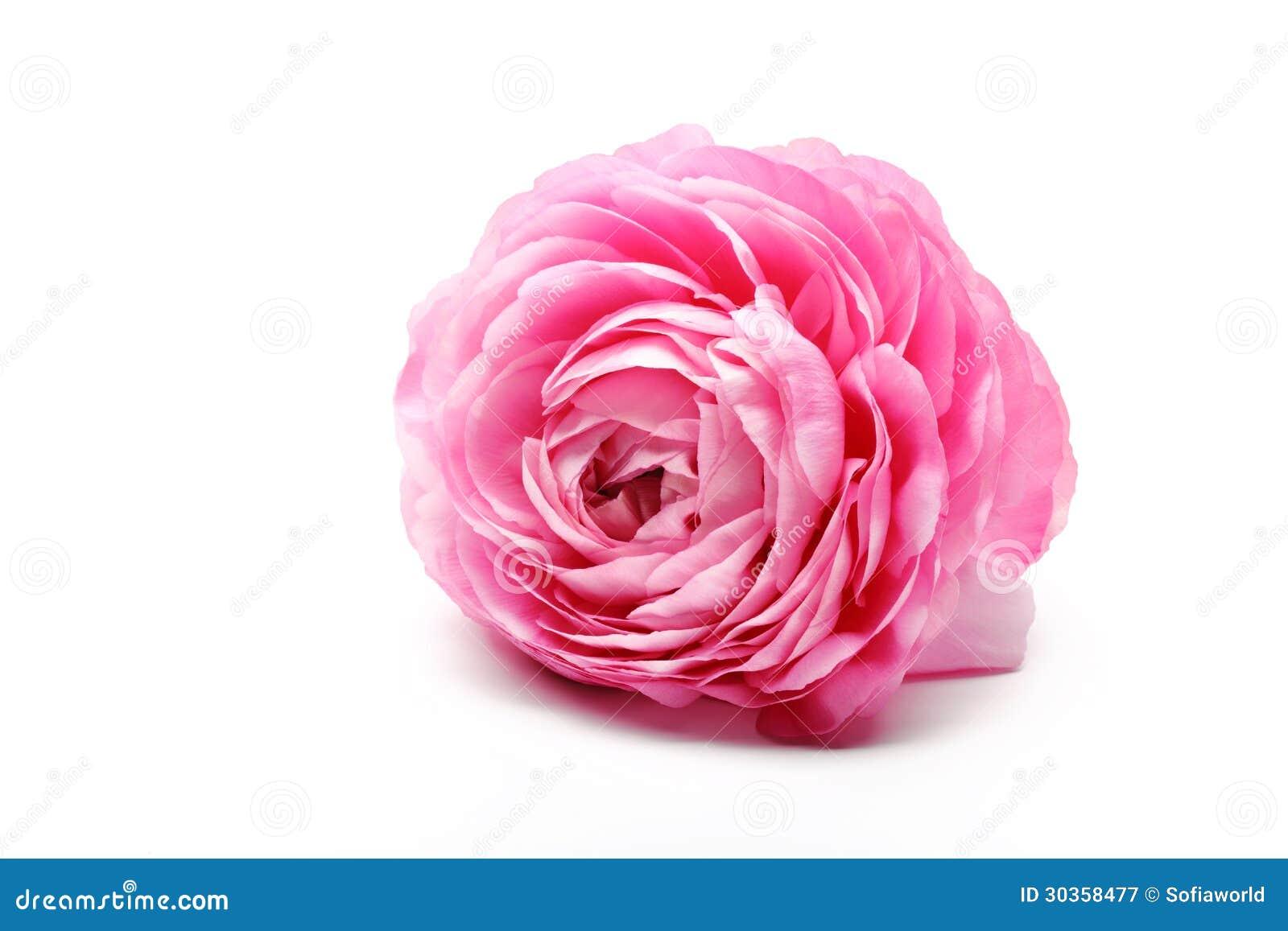 Rosa persisk smörblommablomma