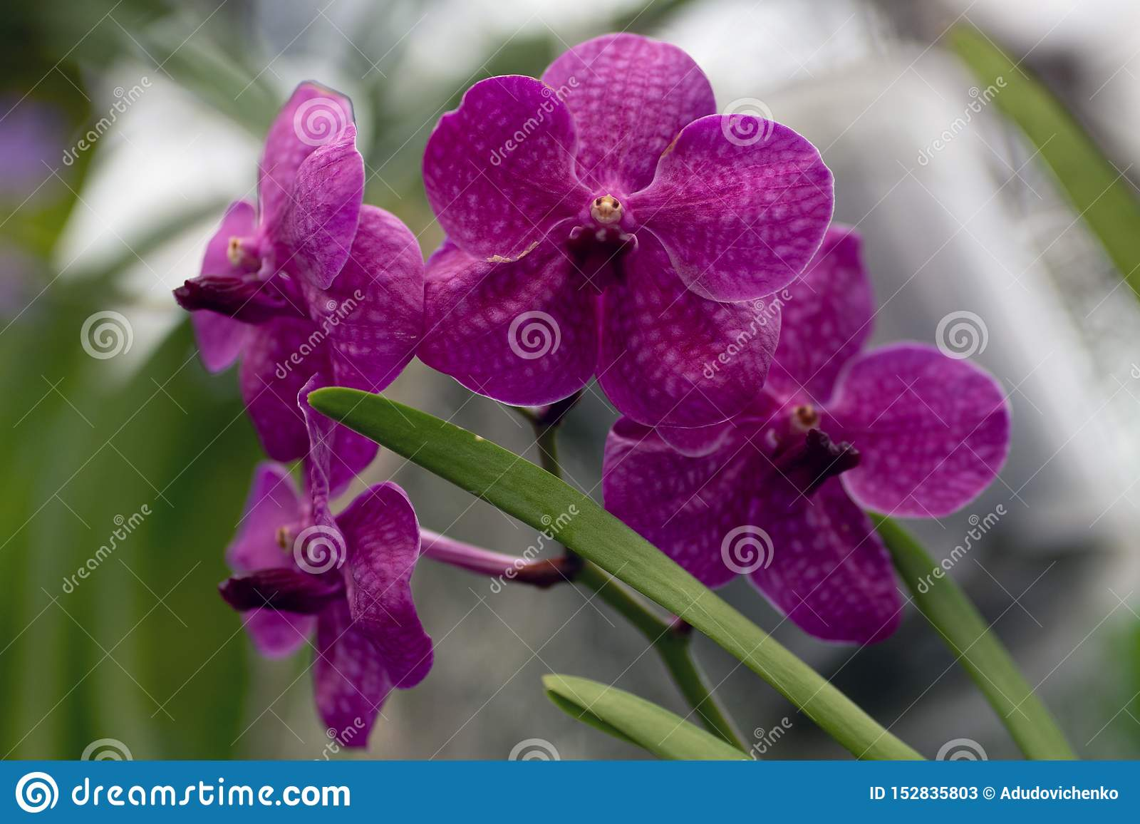 Rosa phalaenopsis, rosa orkidéslut upp i mjuk fokus