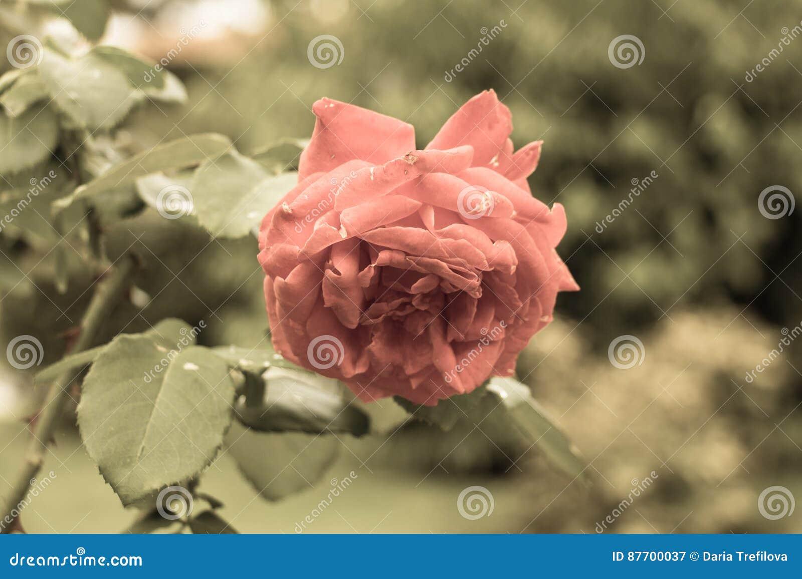 Rosa Photo âgée Filtre âgé