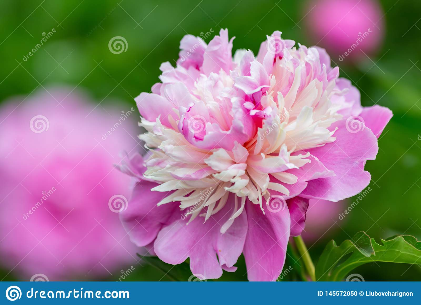 Rosa pionblommor i en frukttr?dg?rd