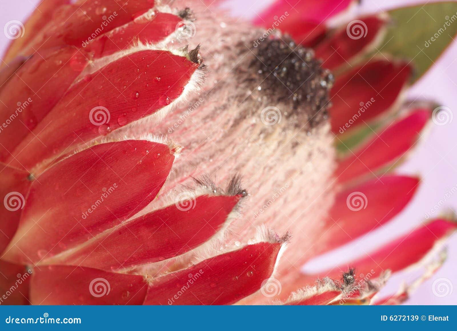 Rosa protea för makro