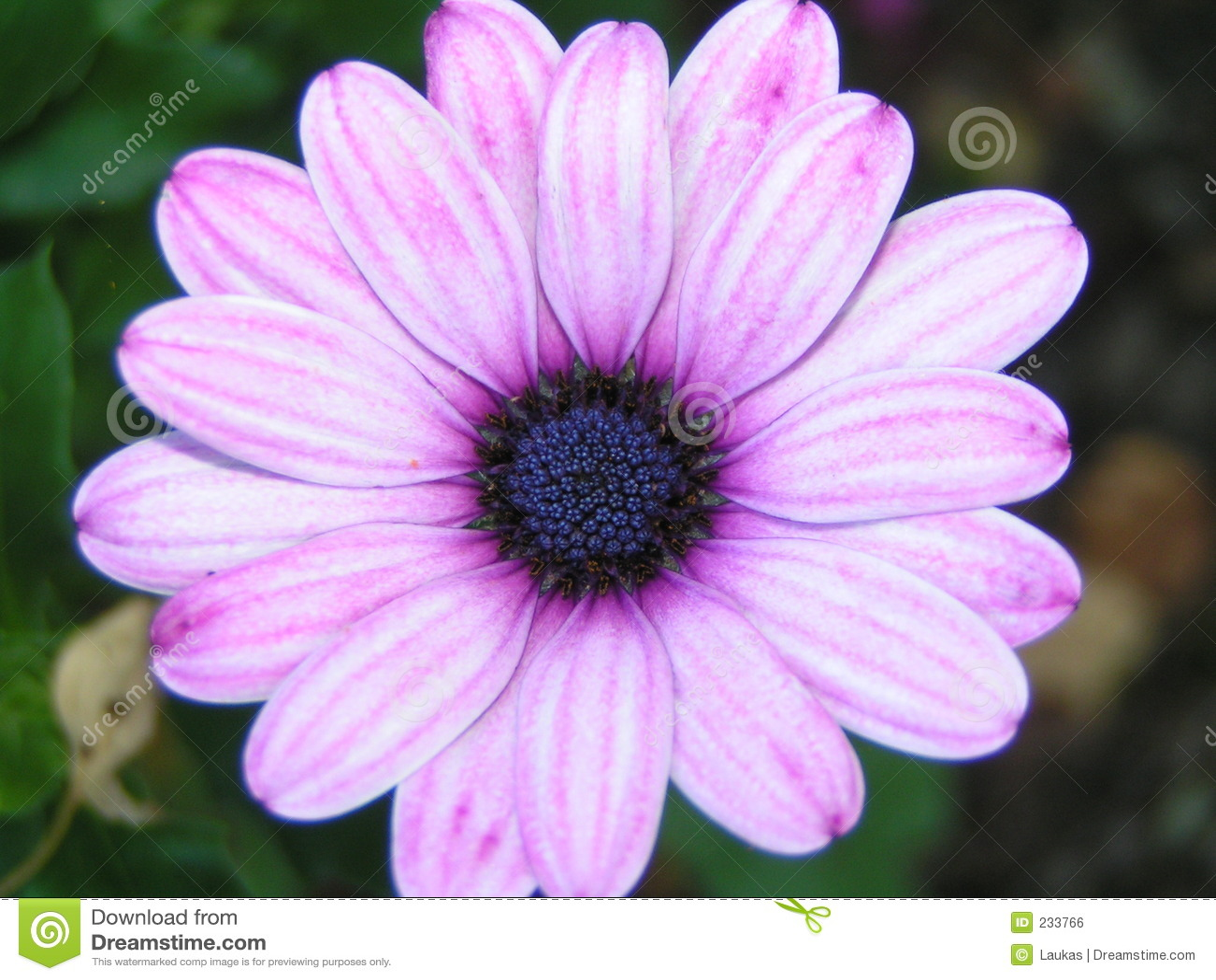 Rosa purple för blomma