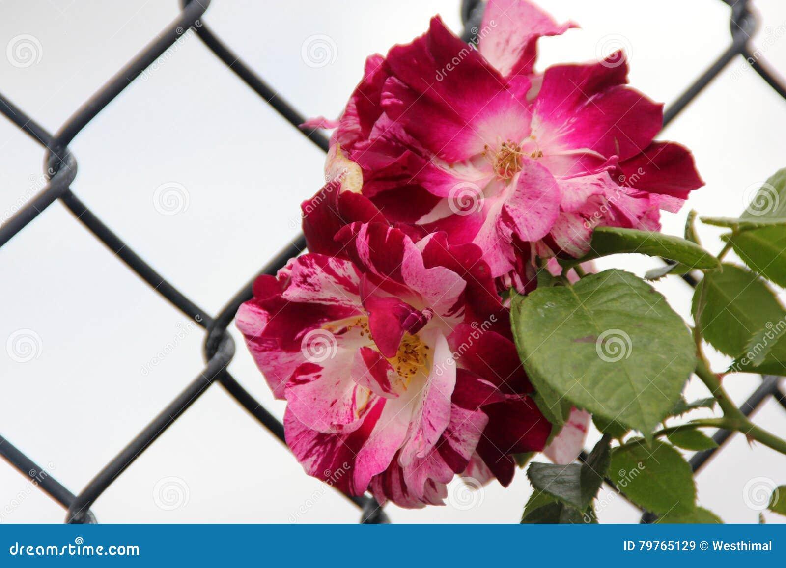 Rosa \'Purple Splash\' stock image. Image of golden, flowered - 79765129