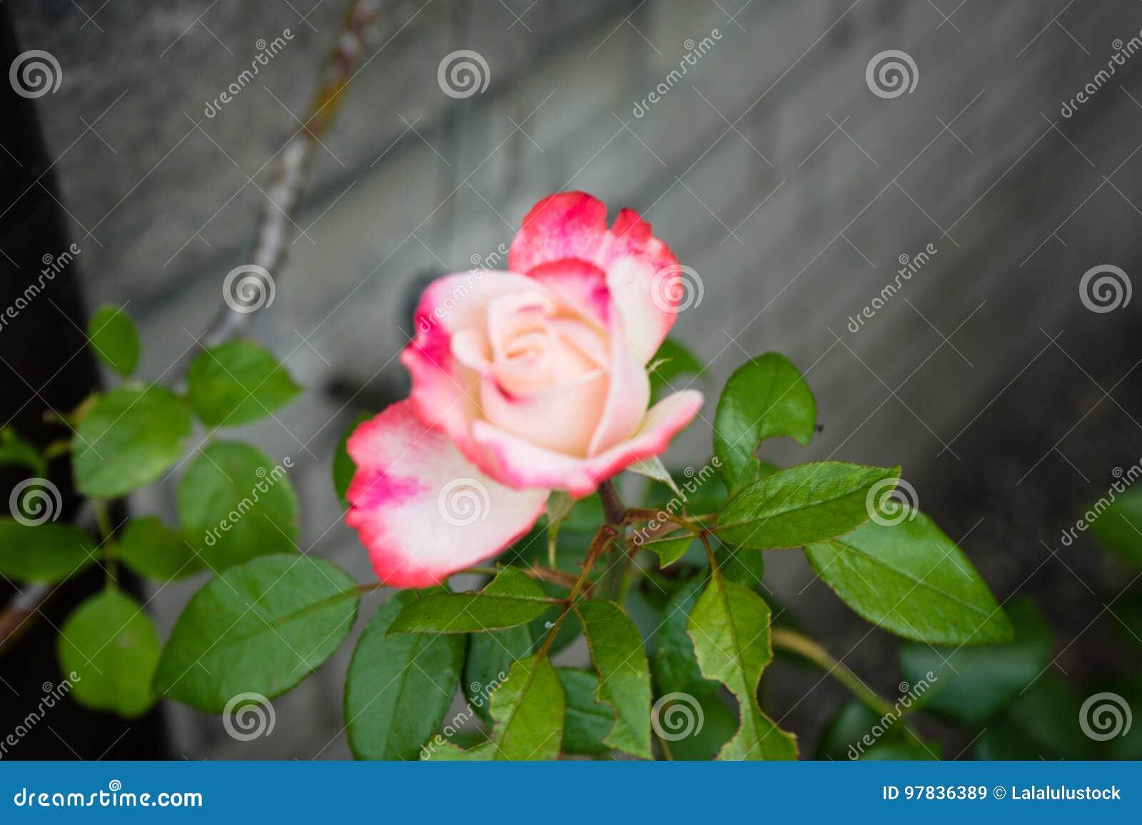 Rosa röd sikt för vitrossida med betongväggen