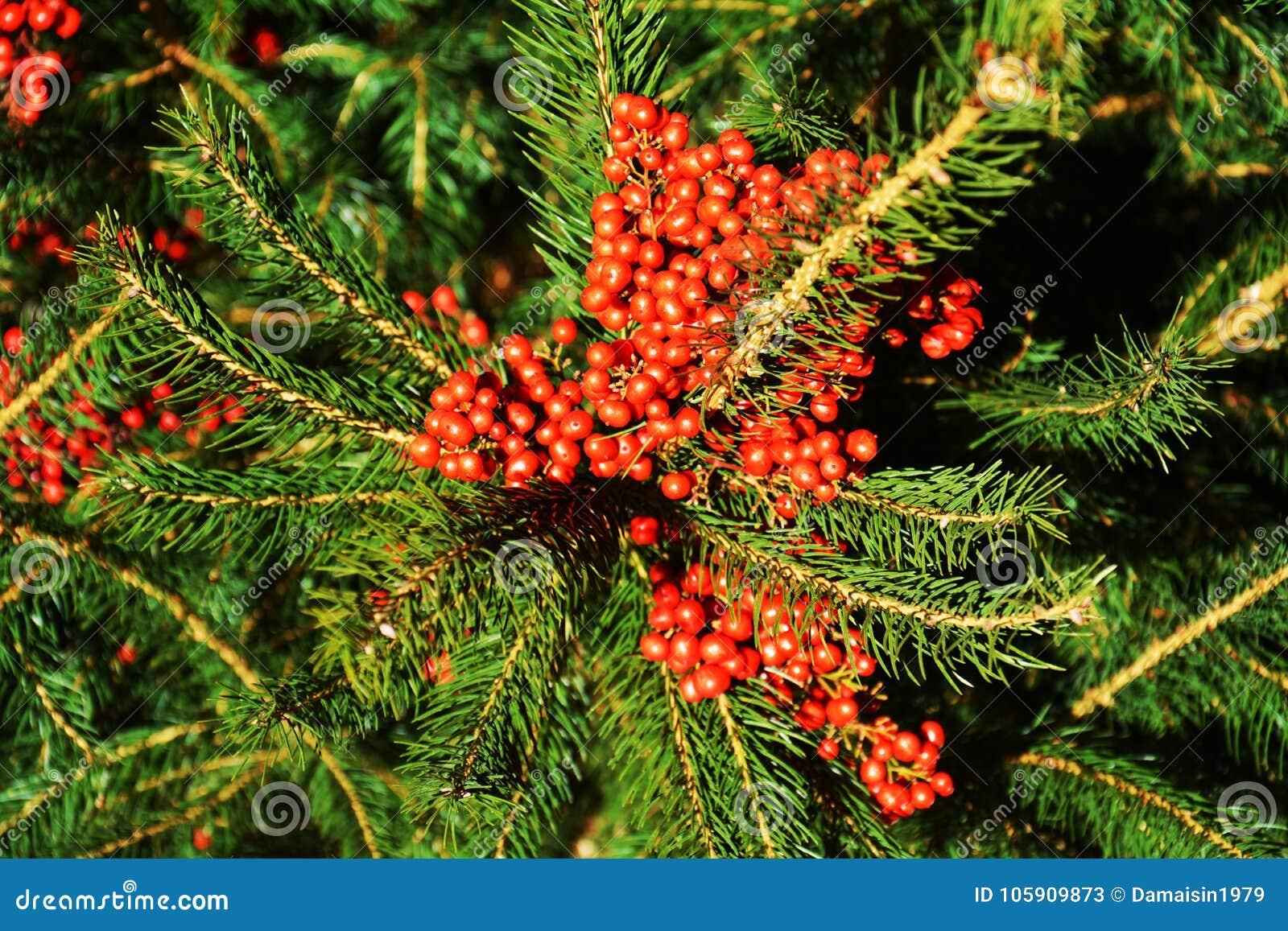Rosa röda orange vinterblommor och gröna sidor, naturlig bakgrund