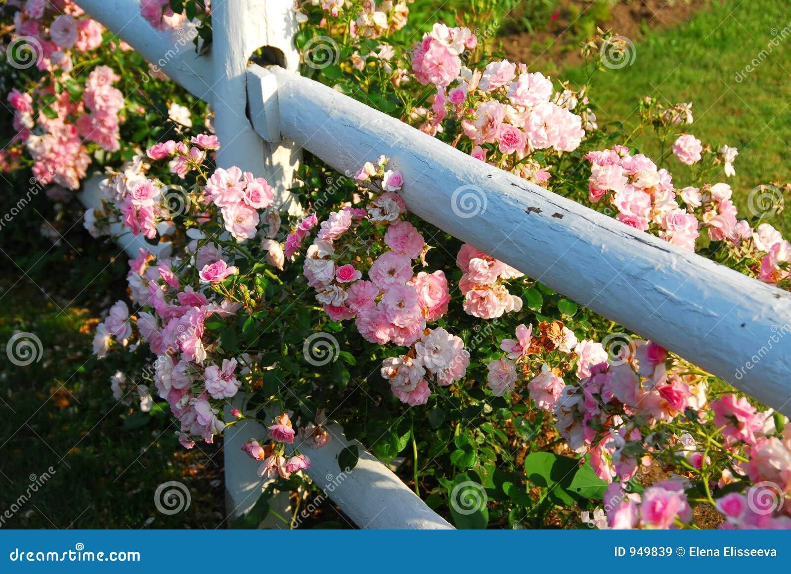 Rosa ro för staket